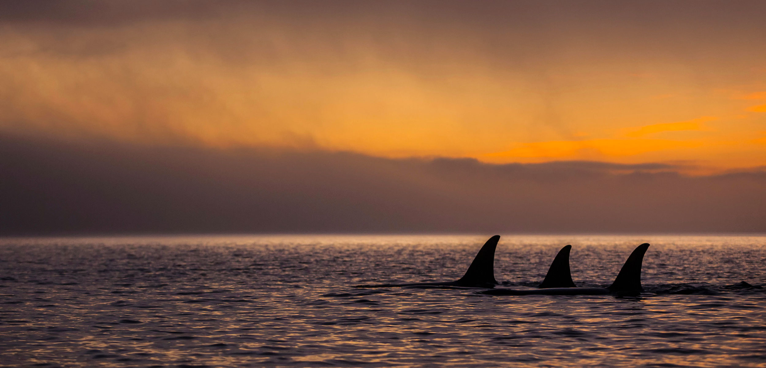 northern resident killer whales at sunset