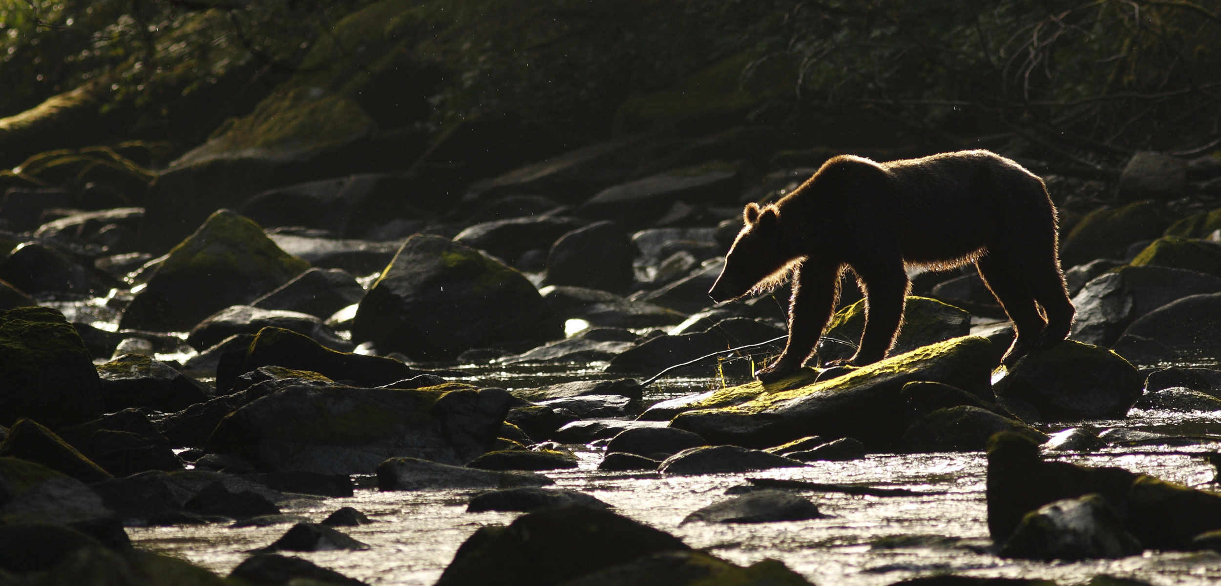 Grizzly Bear (Ursus arctos horribilis) adult, fishing for salmon in the Great Bear Rainforest