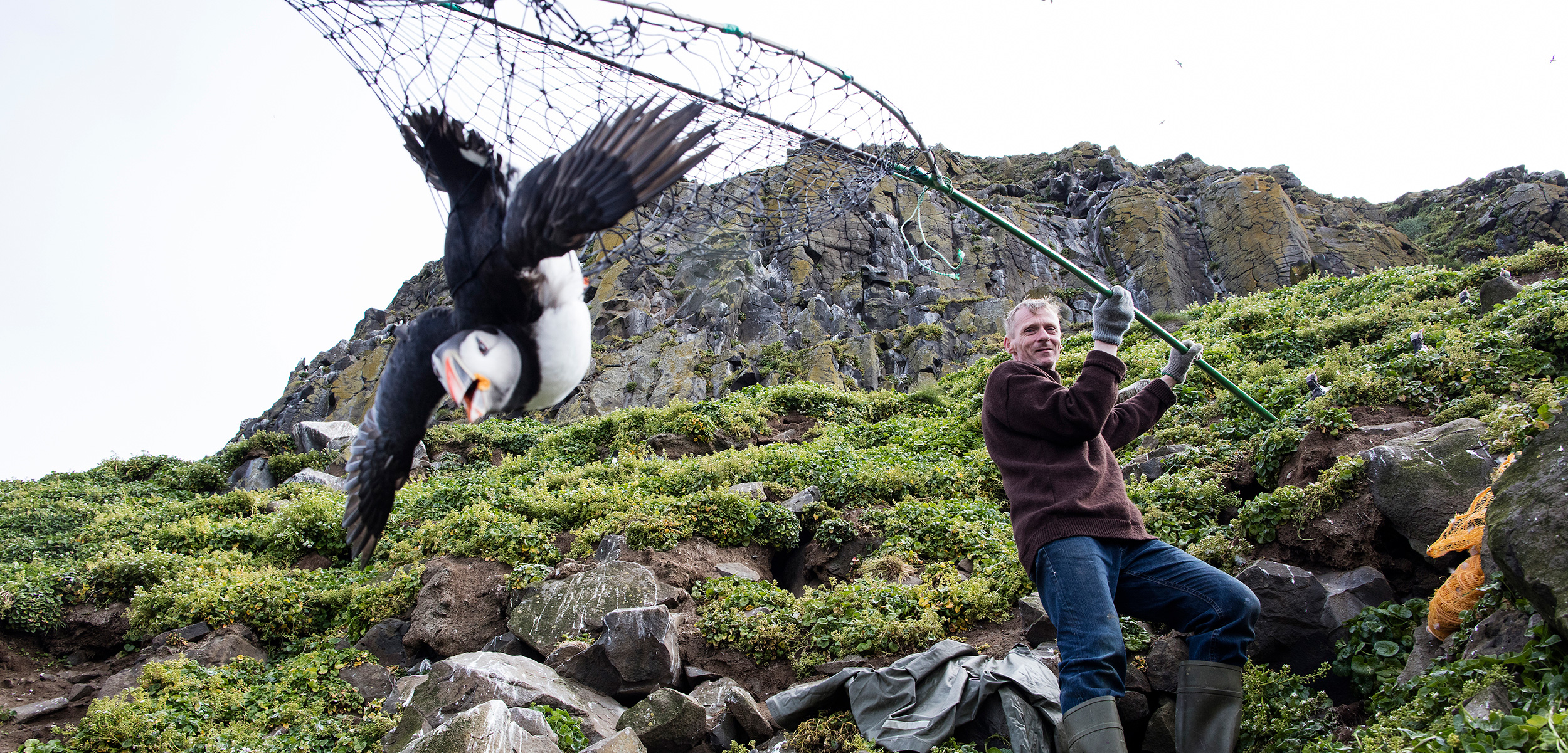 As his ancestors have done for generations, Icelander Árni Hilmarsson catches an Atlantic puffin in a net called a háfur. Photo by Carsten Egevang/atlanticseabirds.info