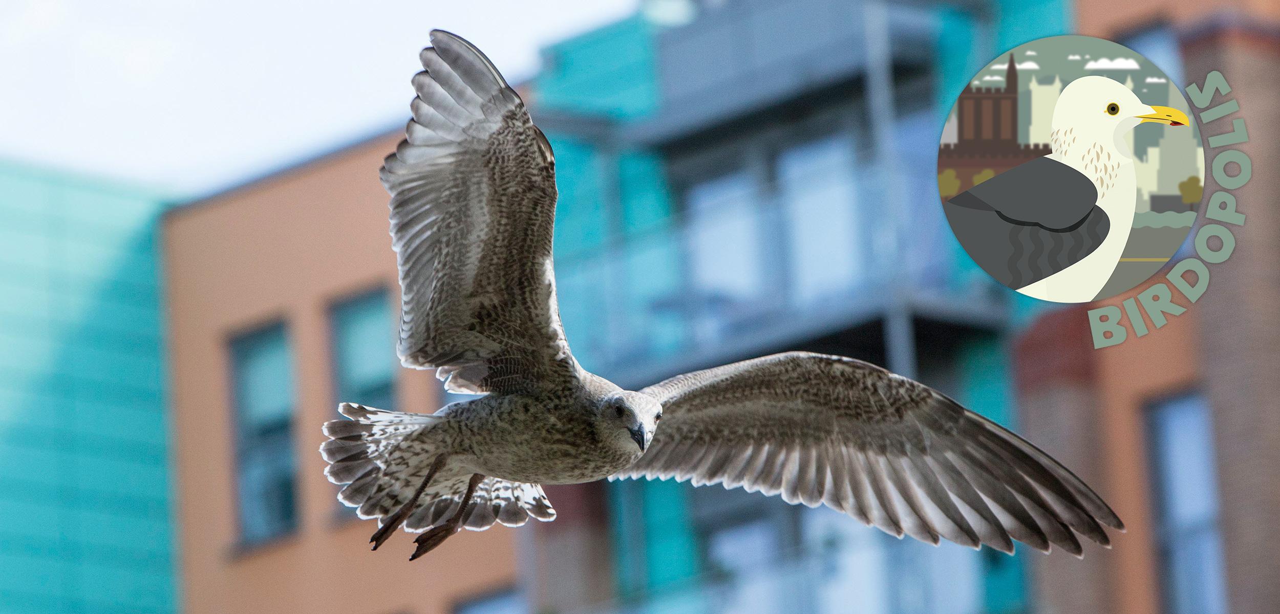 Juvenile gill in flight in Bristol, UK