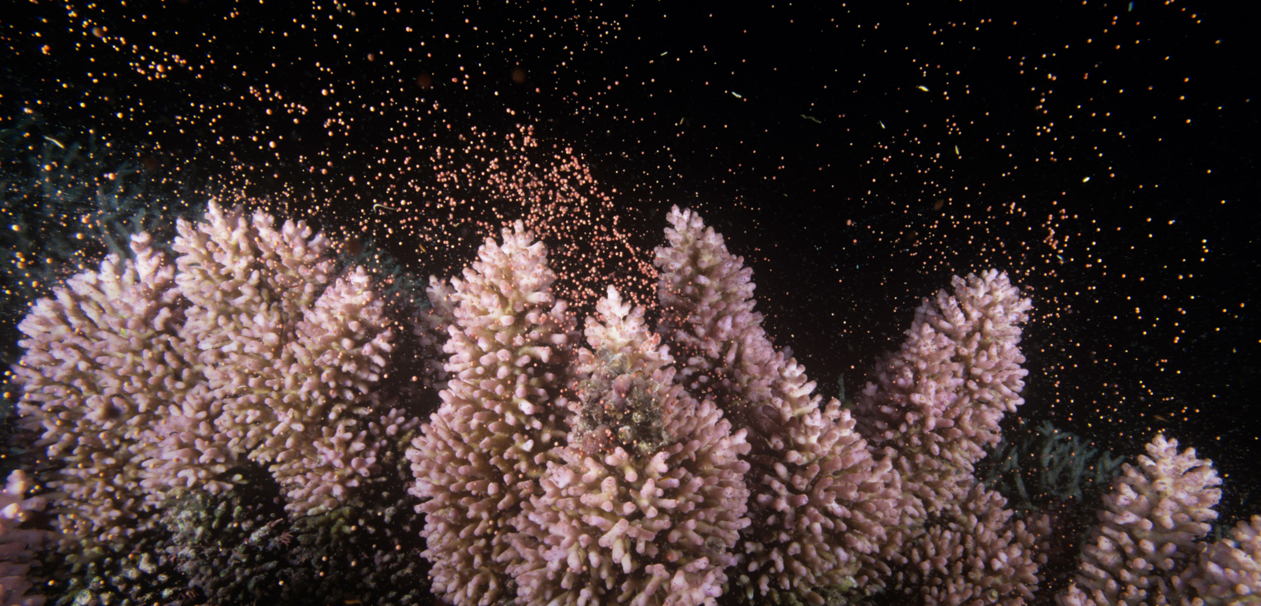 Corals, such as these staghorn corals on the Great Barrier Reef, are cued to spawn during a full moon. Photo by Becca Saunders/Minden Pictures