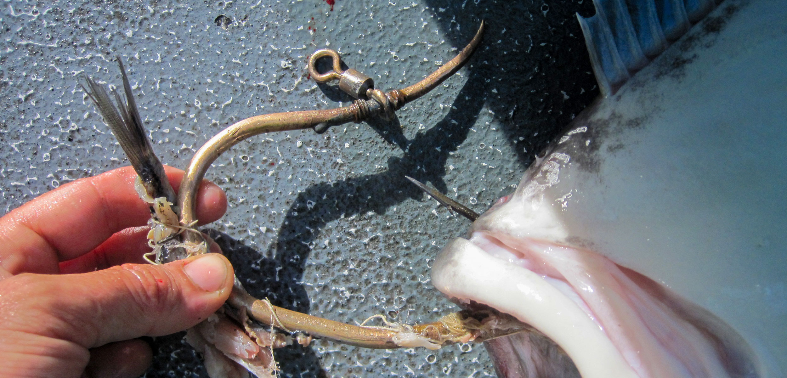 Makah čibu·d halibut hook