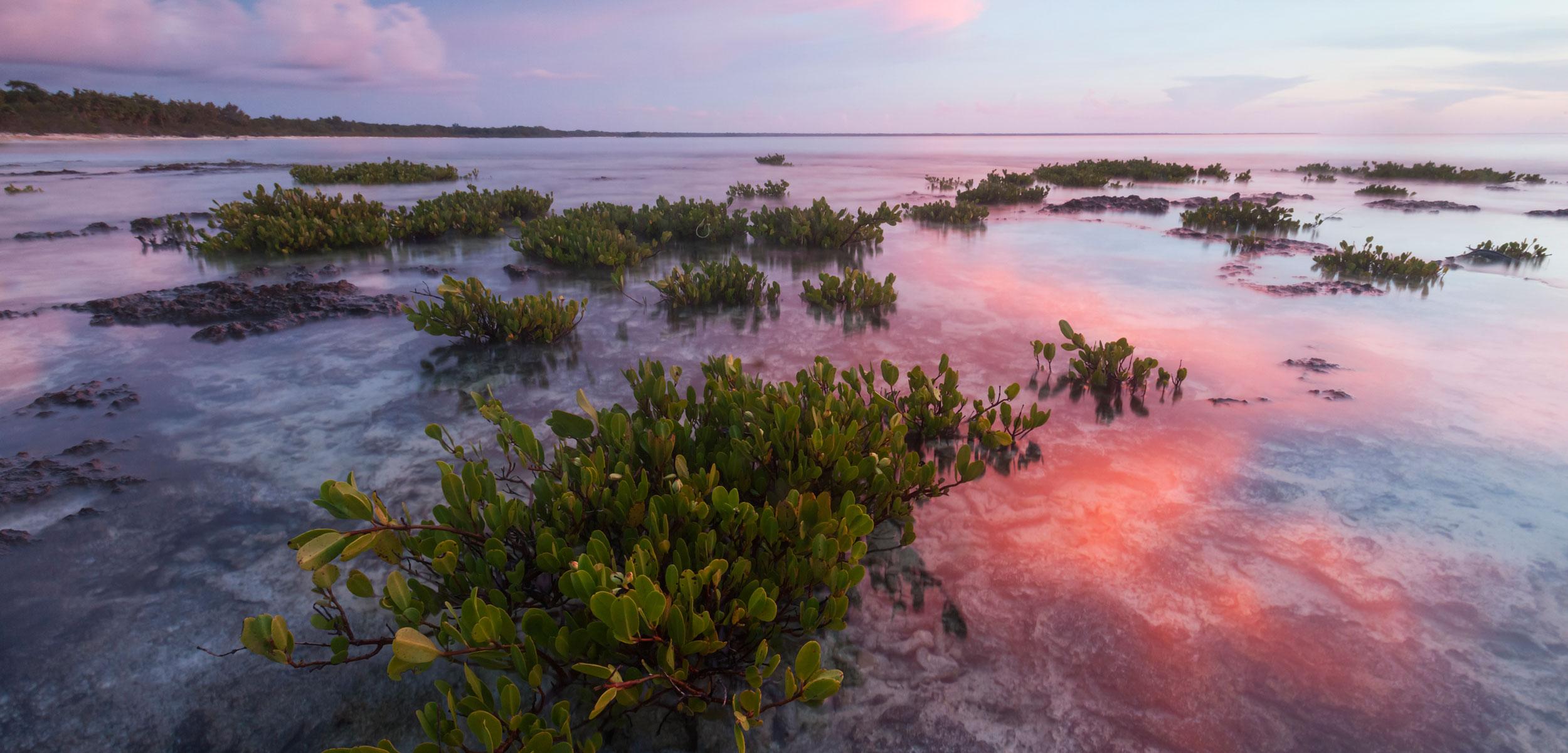 Red mangrove (Rhizophora mangle), tree seedllings at sunset, Guanahacabibes Peninsula National Park