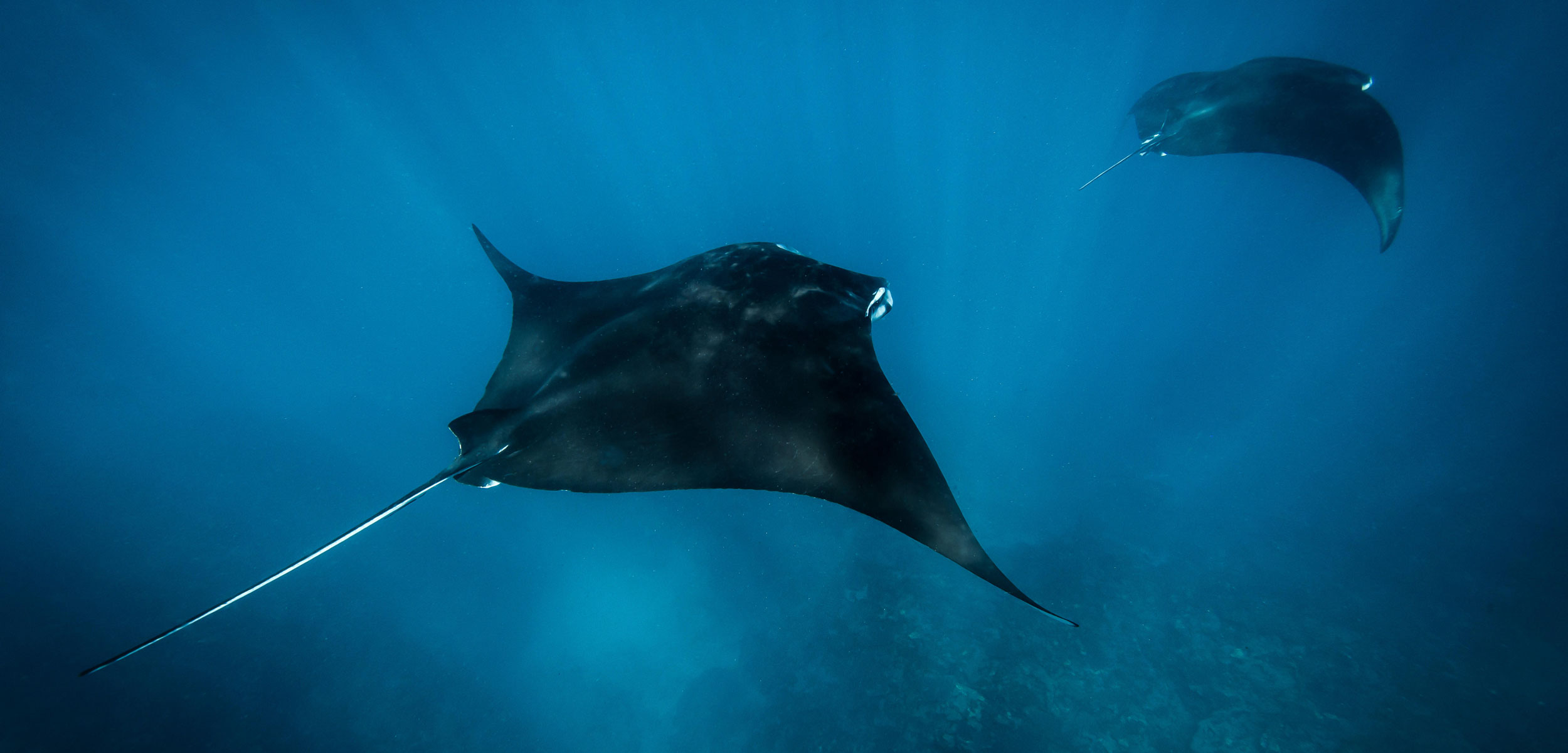 Two manta rays swim in the waters off Exmouth, Western Australia