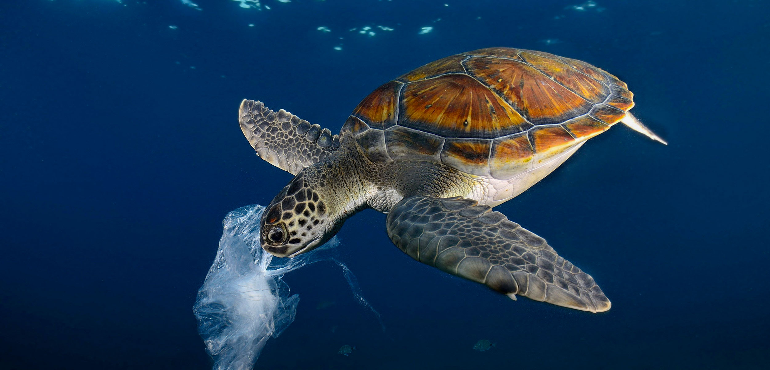 Green Sea Turtle (Chelonia mydas) eating plastic bag