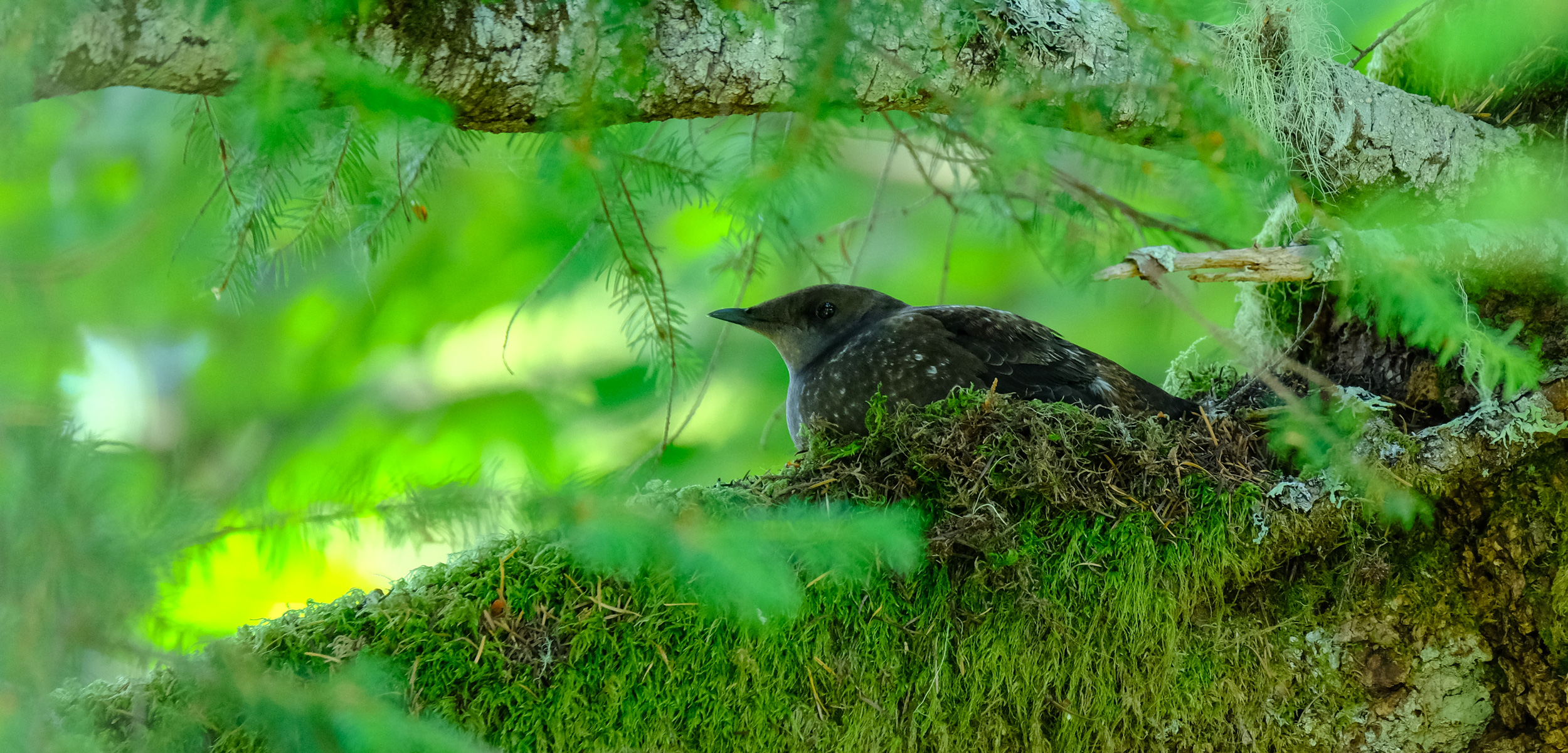 marbled murrelet on its nest