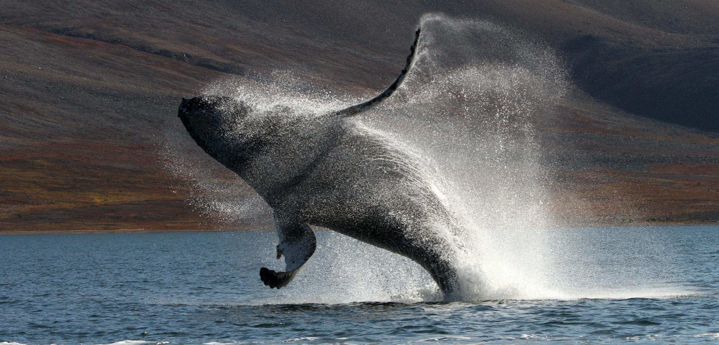 Humpback whale breaching in Russia