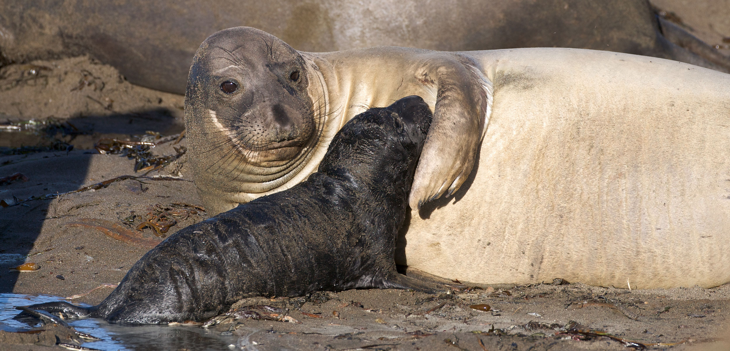 Female elephant seal and pup