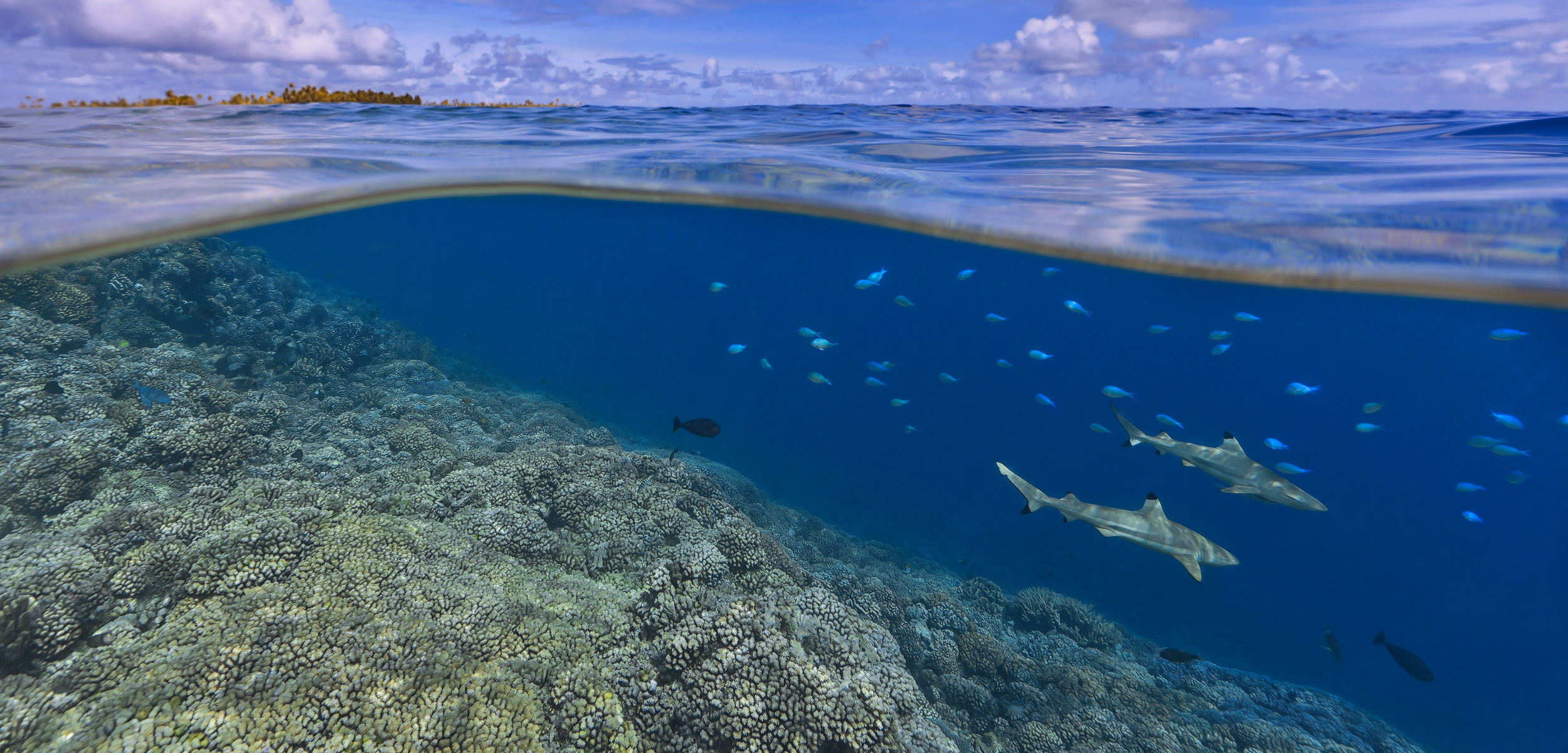 Black-tip Reef Shark (Carcharhinus melanopterus) pair swimming over reef, Tahiti, French Polynesia