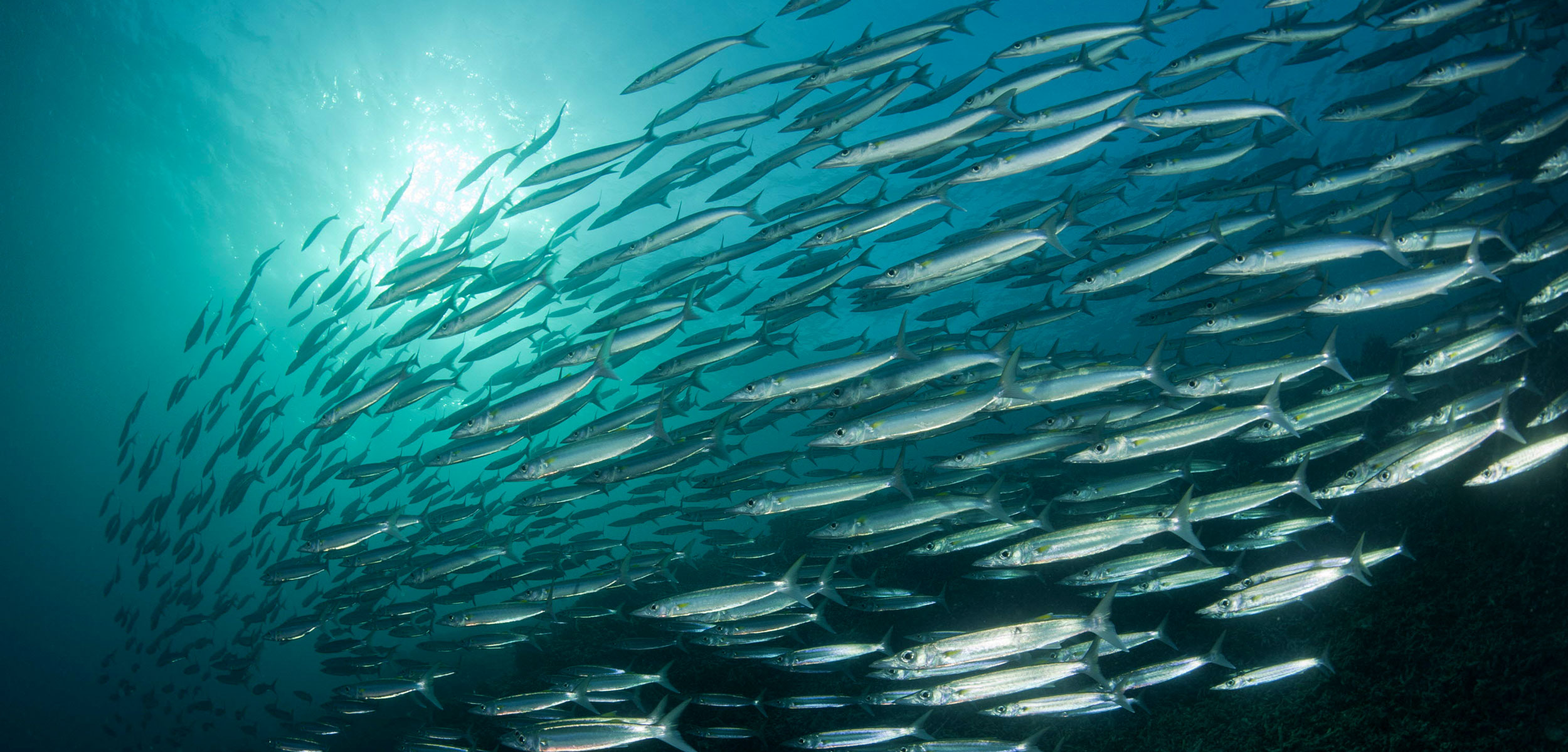 Shoal of schooling Bigeye barracuda