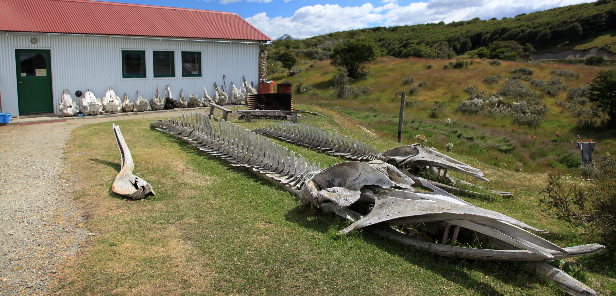 Skeletons of marine mammals fill the property at Estancia Harberton, a ranch at the tip of Tierra del Fuego, Argentina, where Natalie Goodall amassed one of the world's most significant collections of marine mammal bones. Photo by Liam Quinn