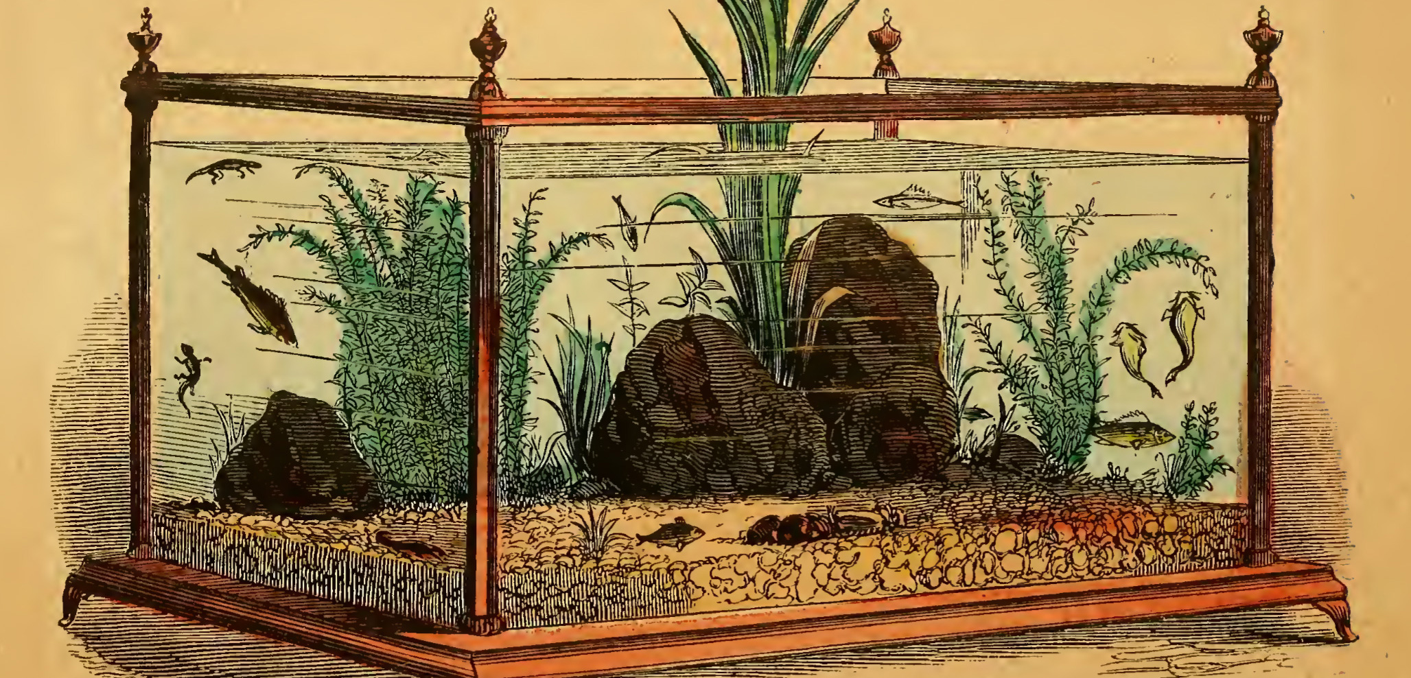 This image is from Henry D. Butler's 1858 book, The Family Aquarium, one of the first step-by-step guides to maintaining a home aquarium.