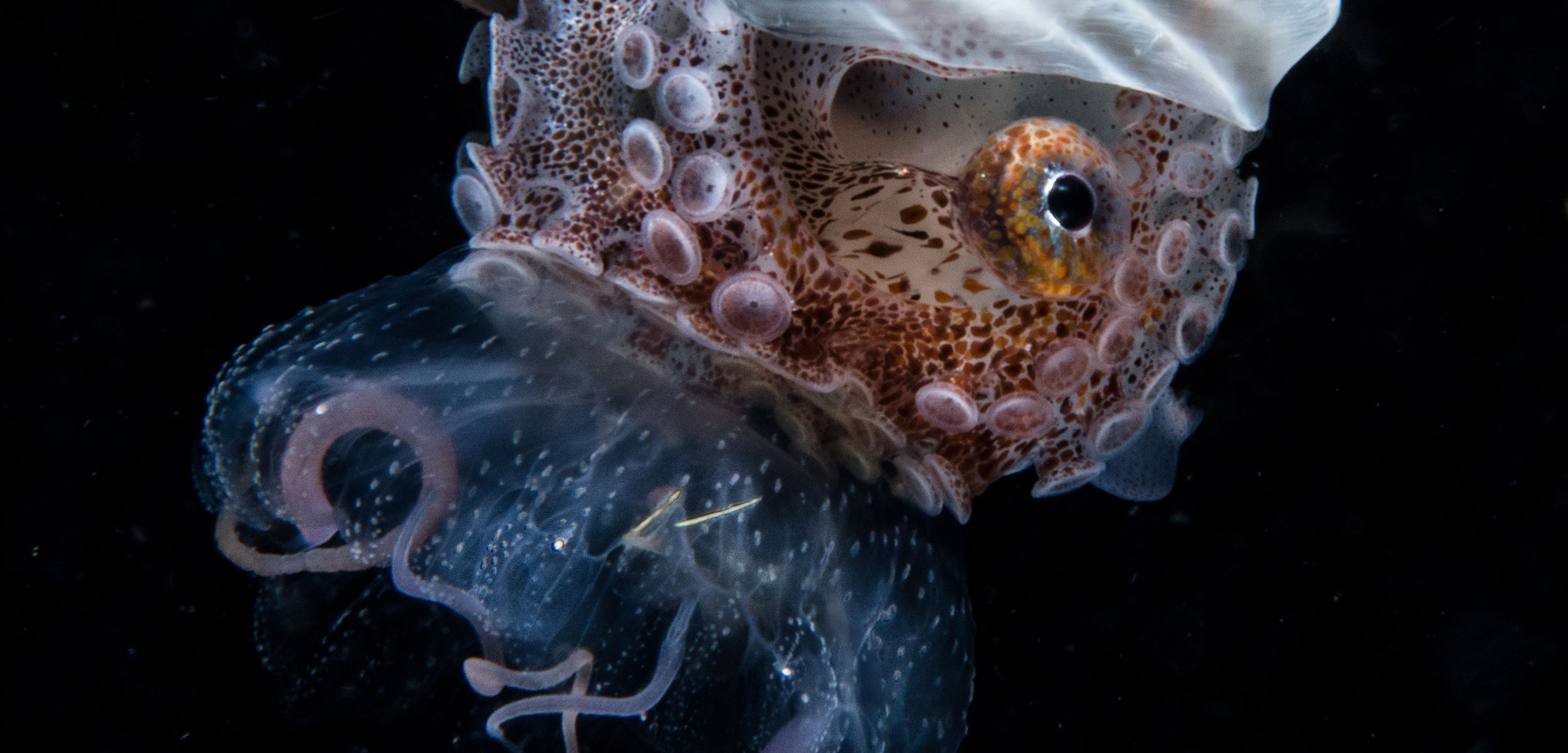Nautilus riding a jellyfish