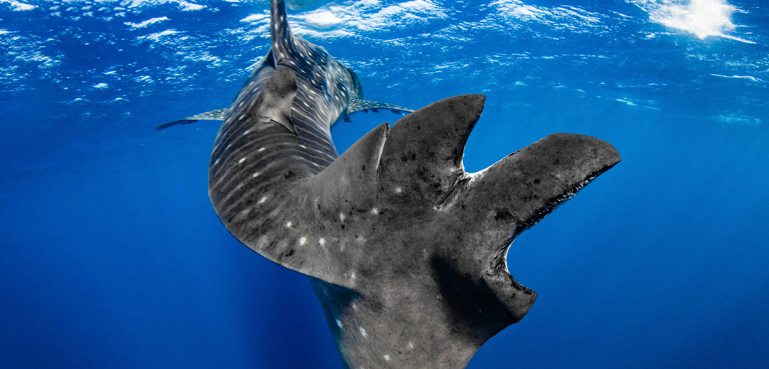 whale shark with cut up tail