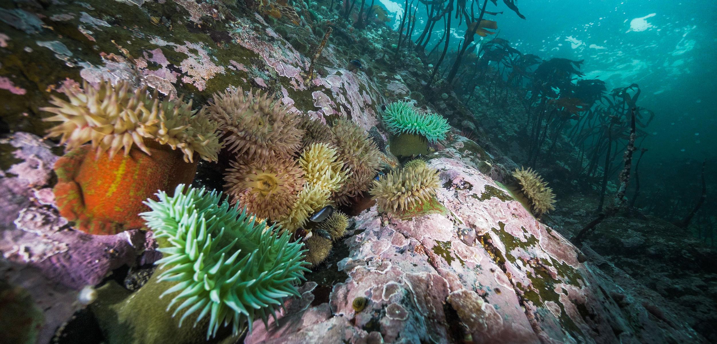 anemones underwater on the British Columbia coast