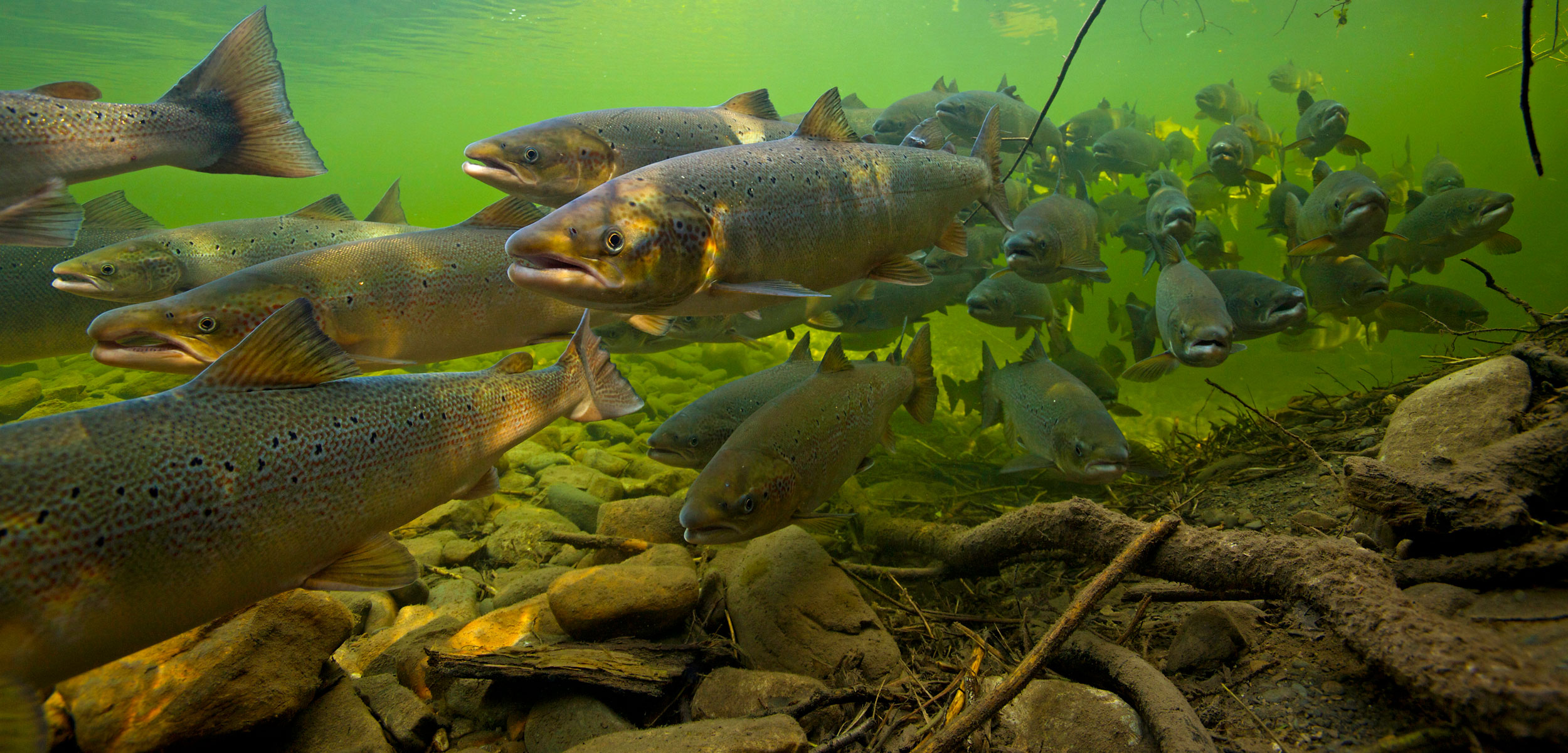 Atlantic salmon (Salmo salar) migrating upstream to spawn