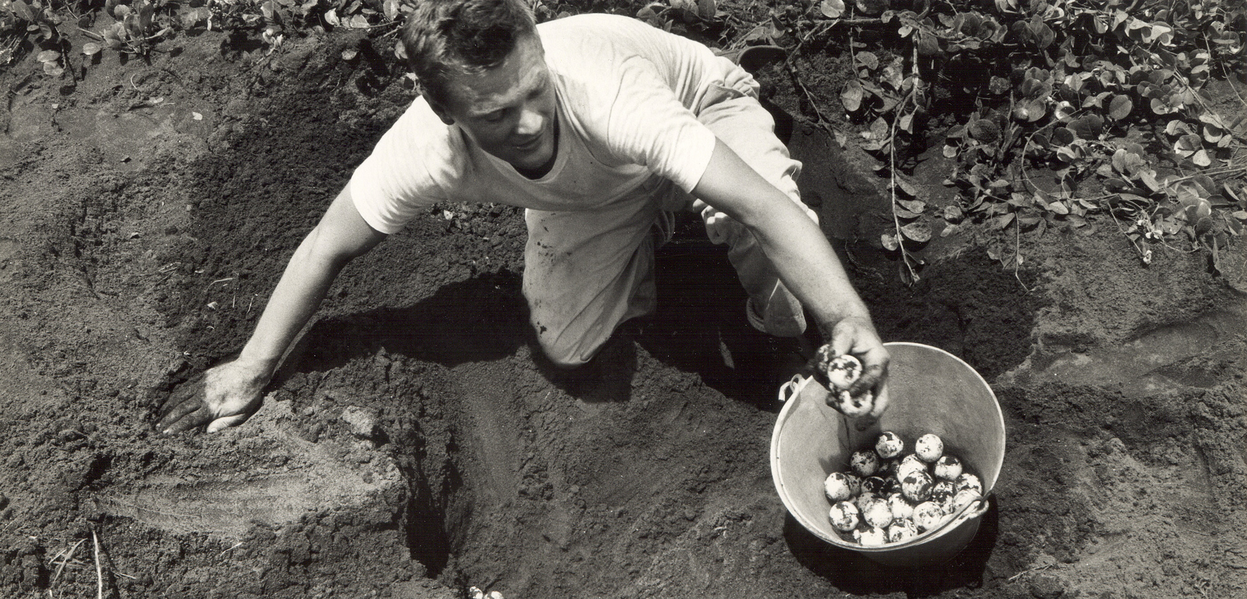 Larry Ogren, a staff member of the Caribbean Conservation Corporation (now known as the Sea Turtle Conservancy), collects eggs from a green turtle nest in Tortuguero, Costa Rica, in 1964 or 1965, as part of Operation Green Turtle. The resulting hatchlings were later relocated to various Caribbean destinations. Photo courtesy of conserveturtles.org