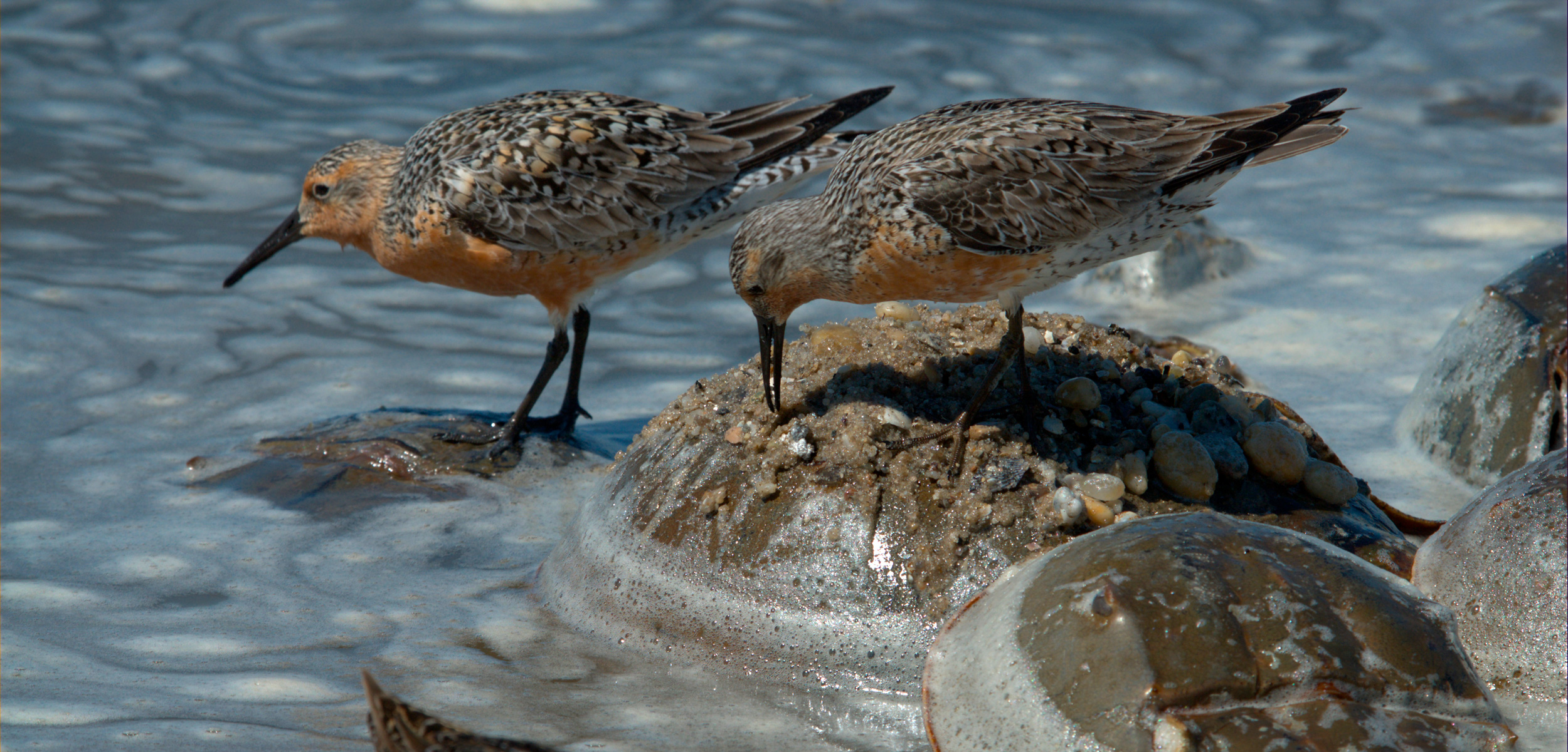 Rufa red knots feeding on the backs of Atlantic horseshoe crabs