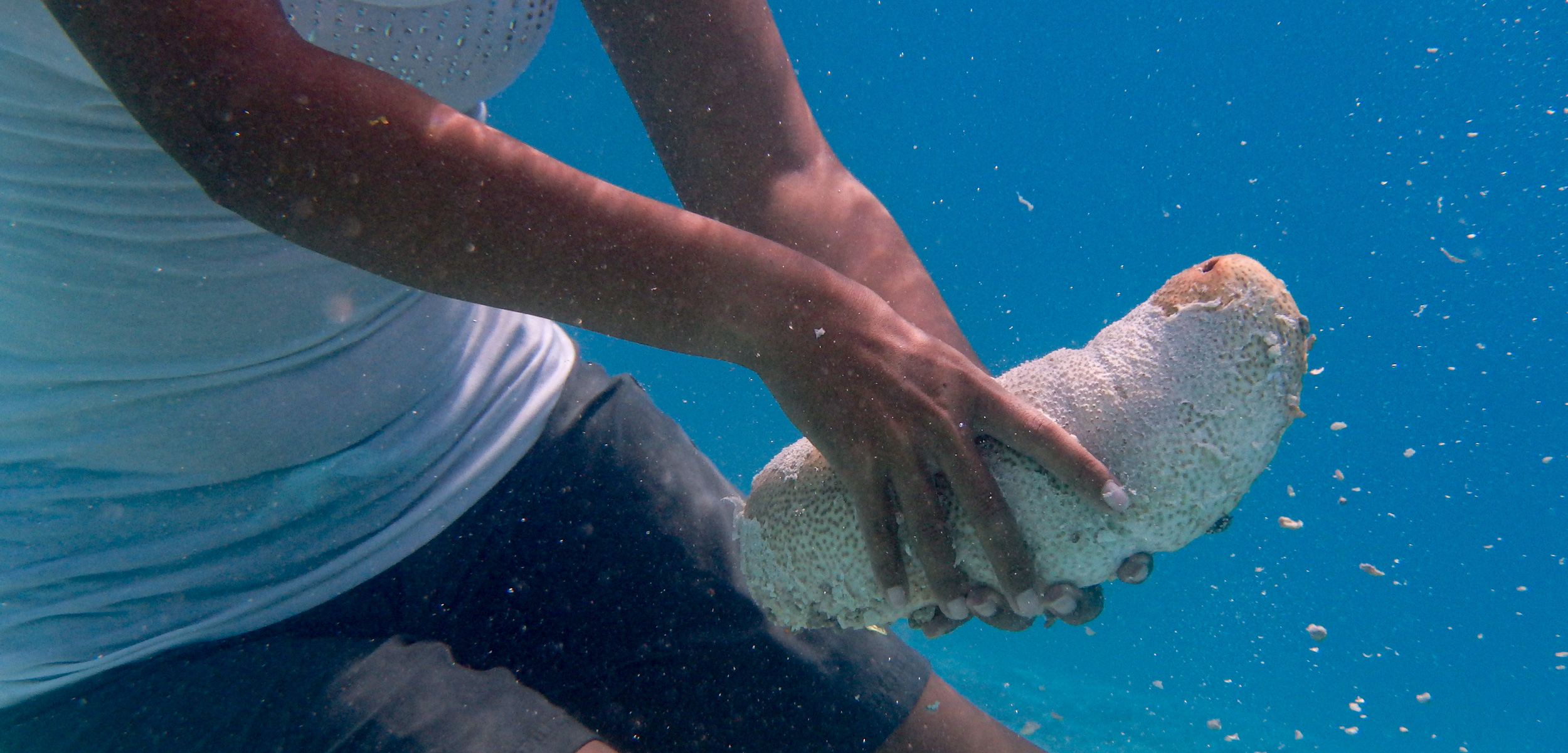 Catching a sea cucumber in Palau