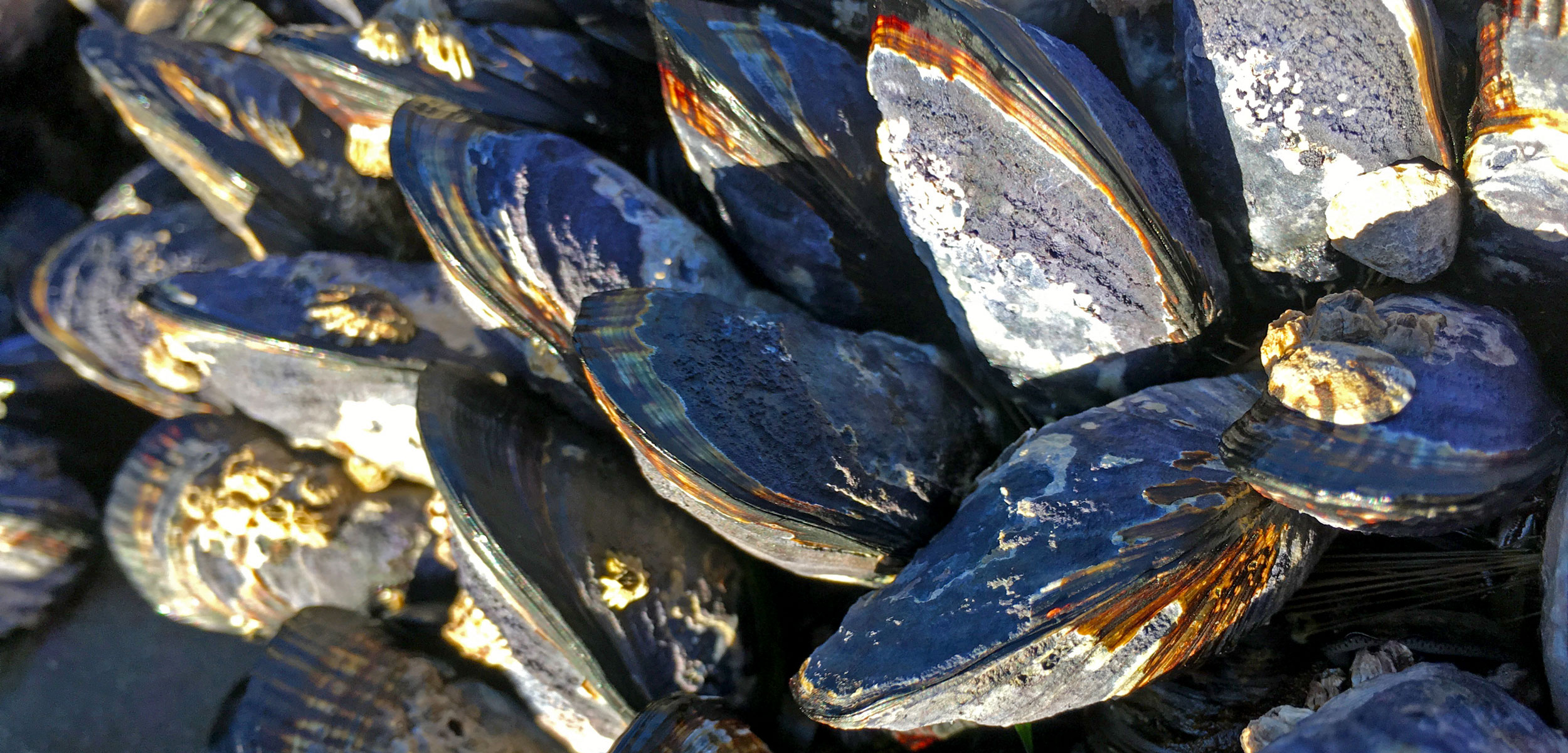 mussels affected by endolithic parasites