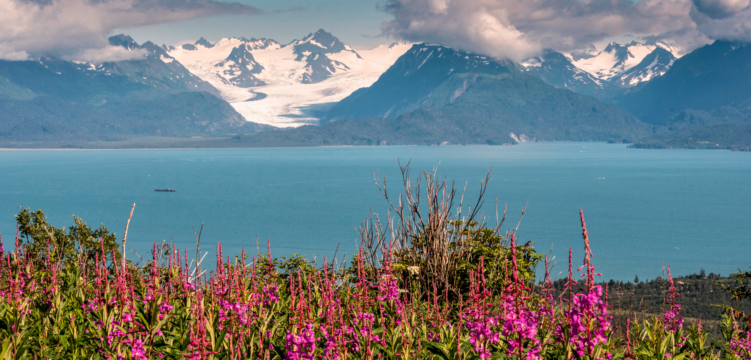 Fireweed wild flowers along Kamishak Bay with the Kenai Mountains in Homer, Alaska