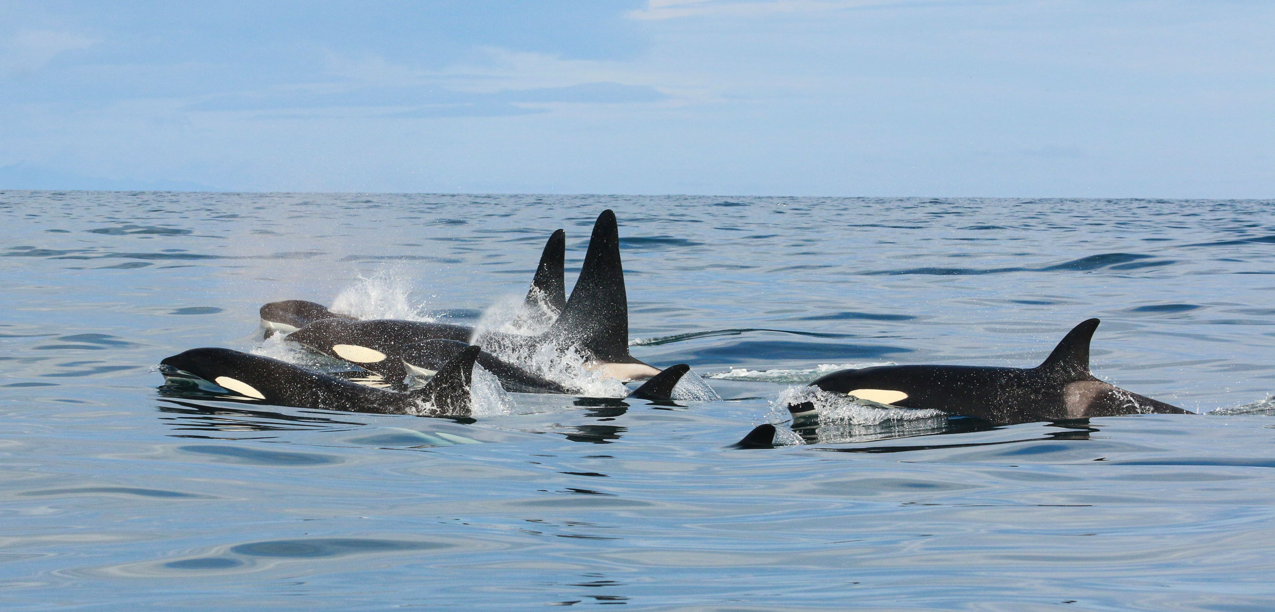 killer whales off Iceland