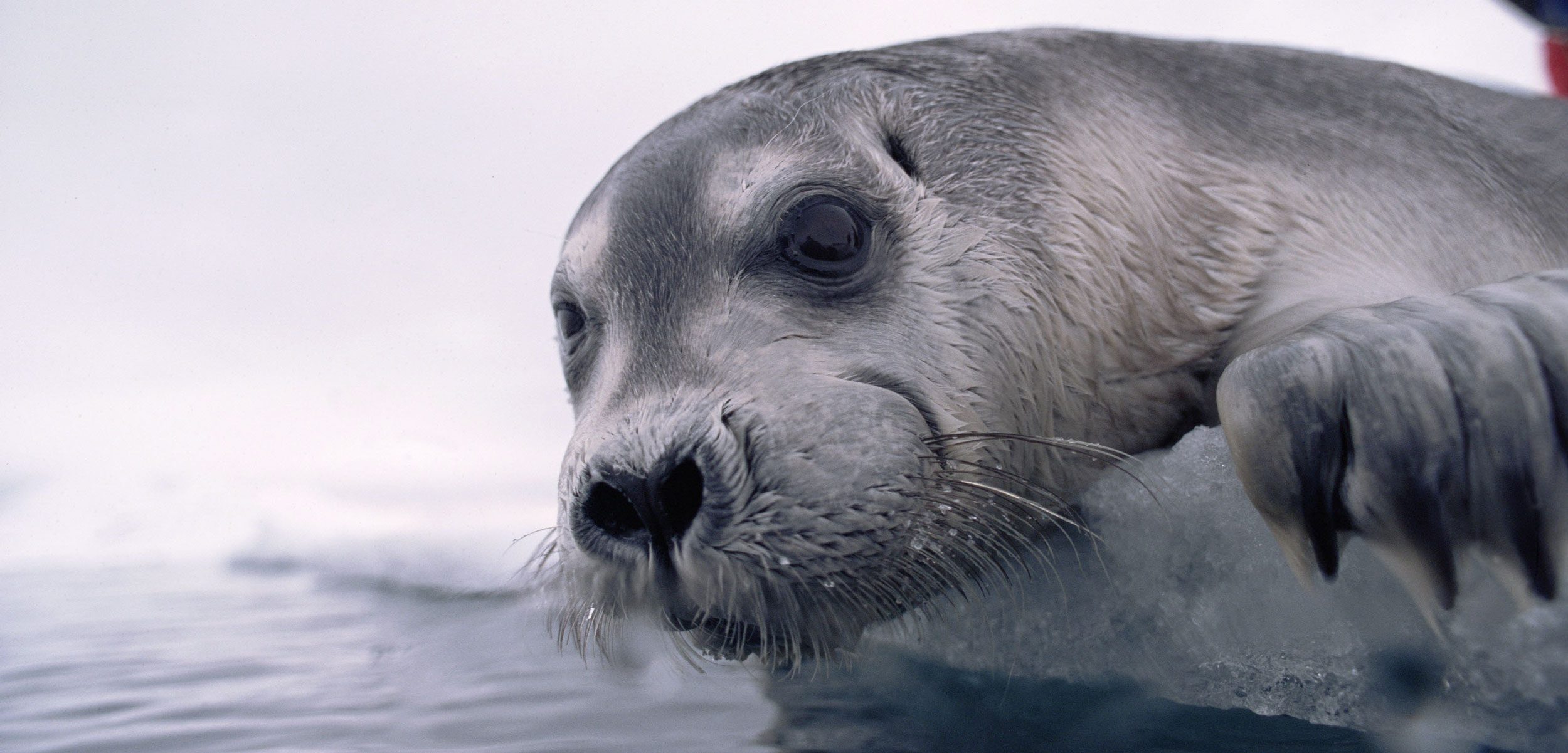 Bearded Seal (Erignathus barbatus) pup on ice edge