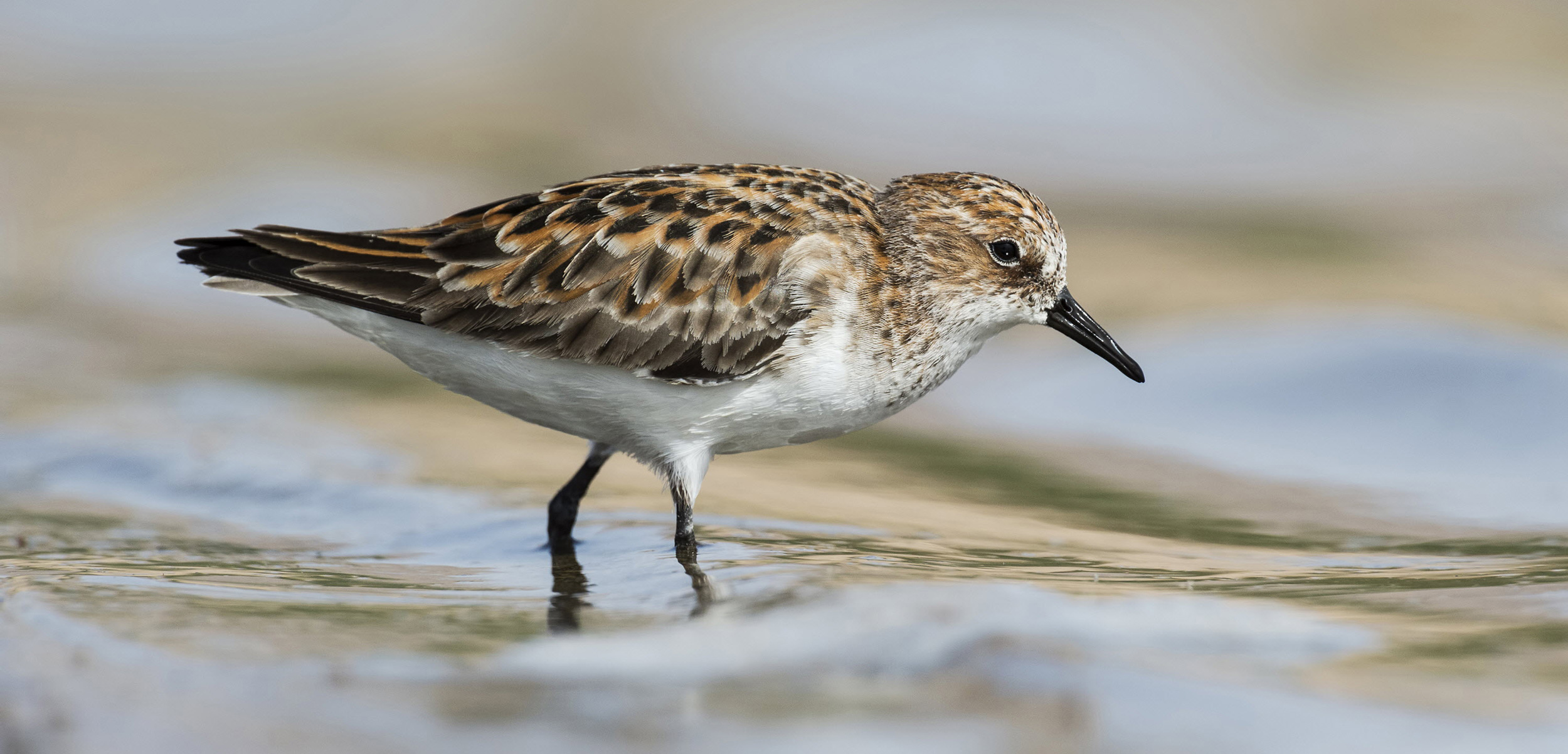 little stint wading in the water