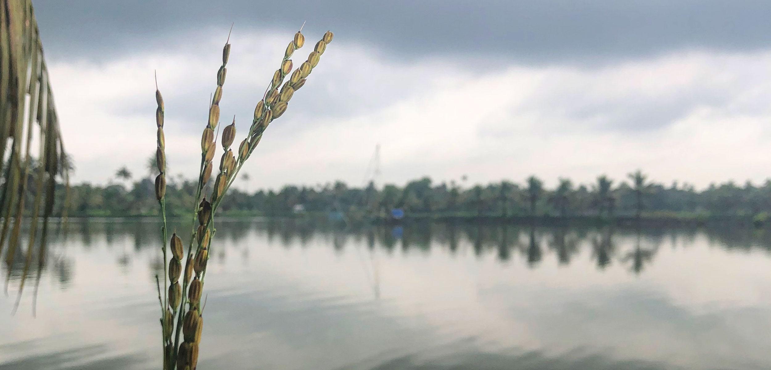 pokkali rice paddy