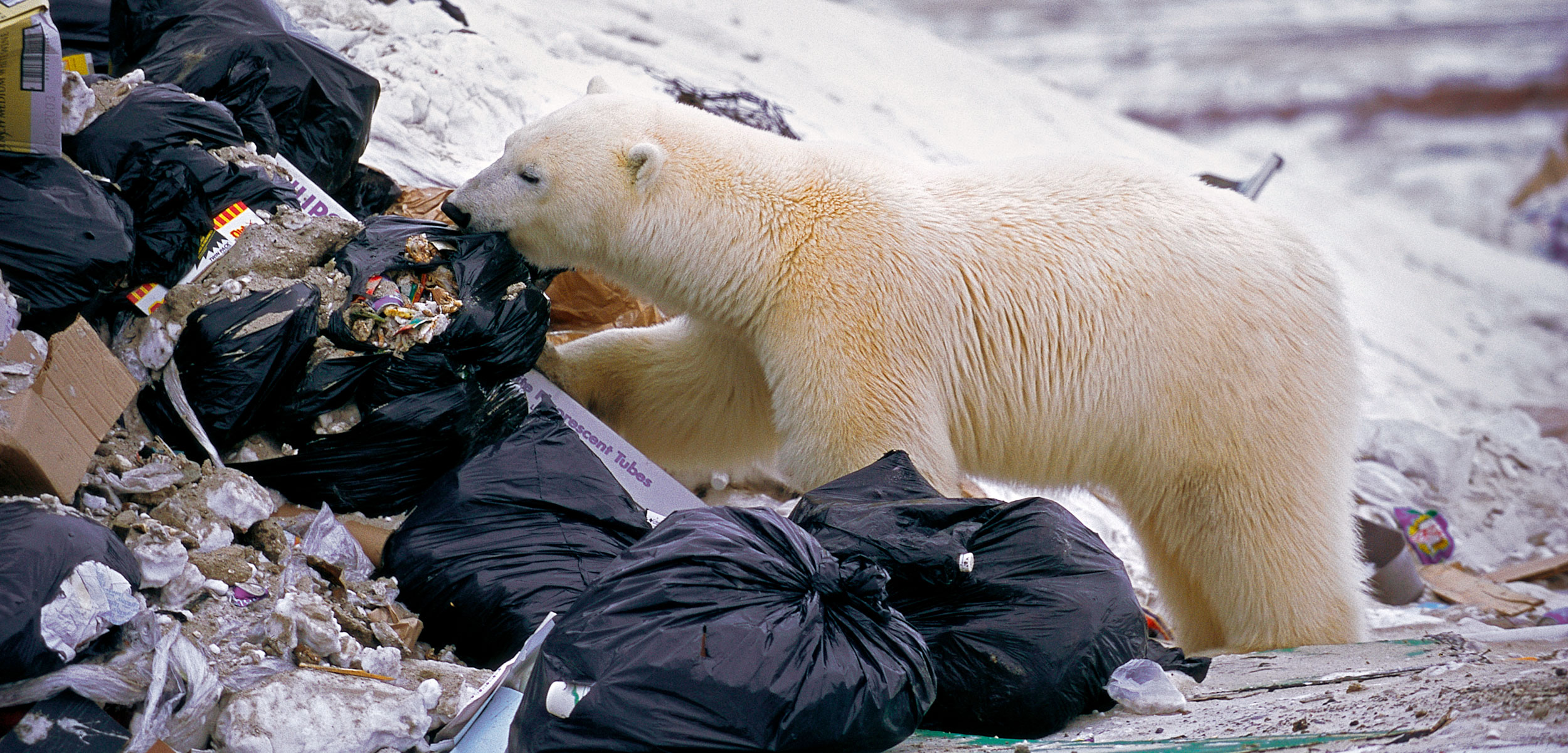 polar bear eating in a garbage dump