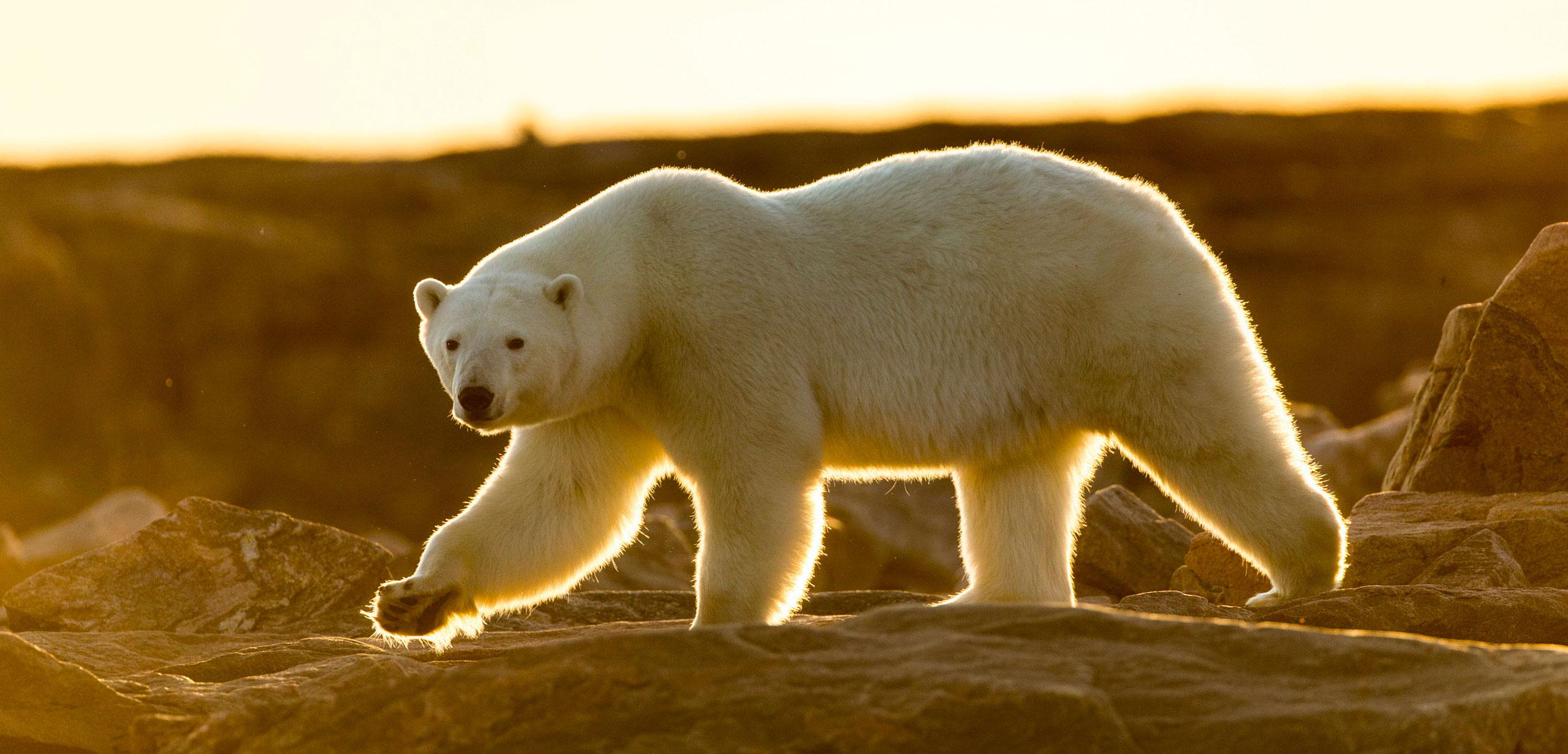 Polar Bear (Ursus maritimus) walking along shoreline