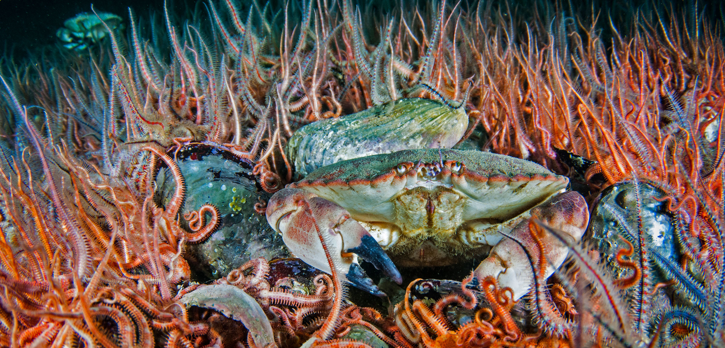 edible crab surrounded by brittle stars