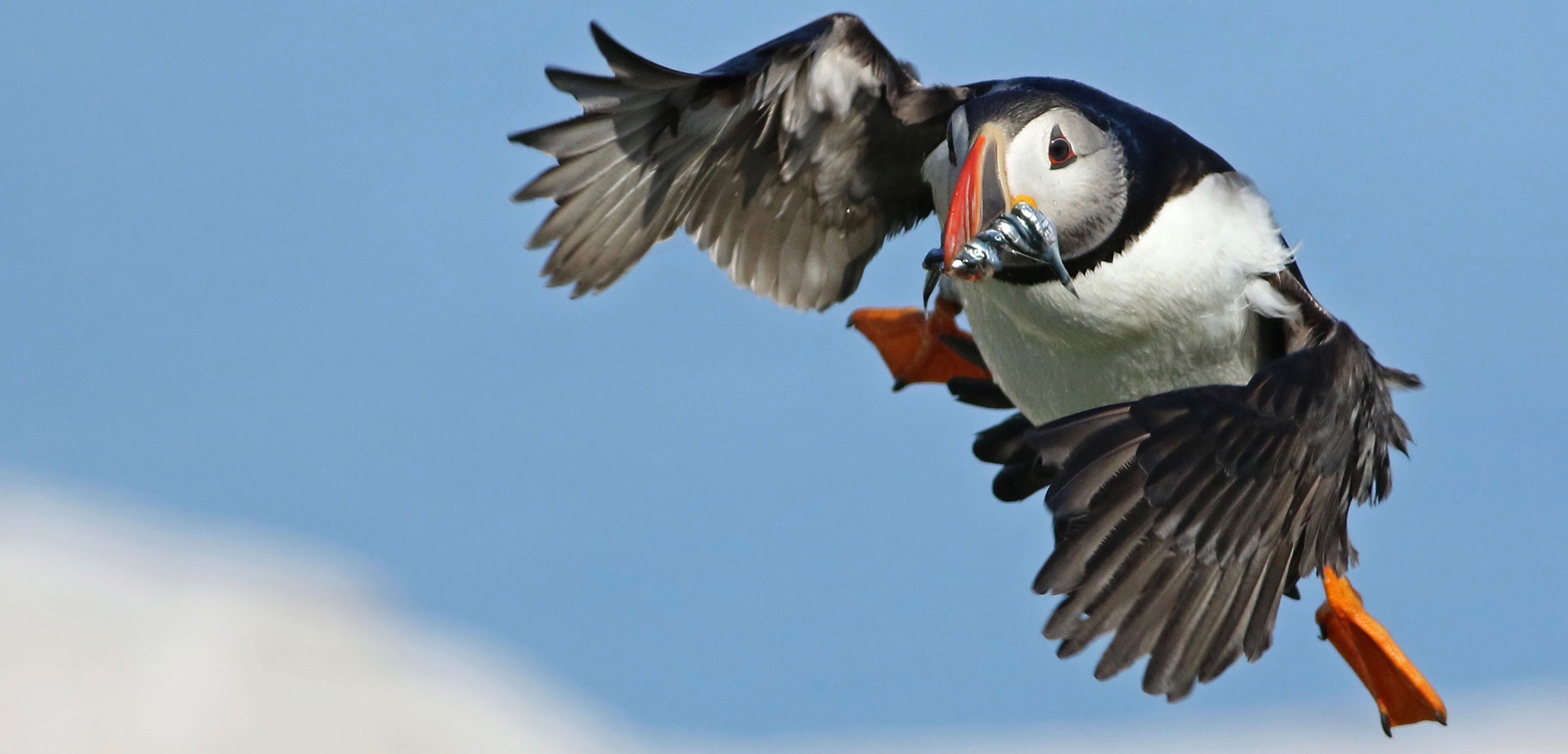 an Atlantic puffin in flight with food in its mouth