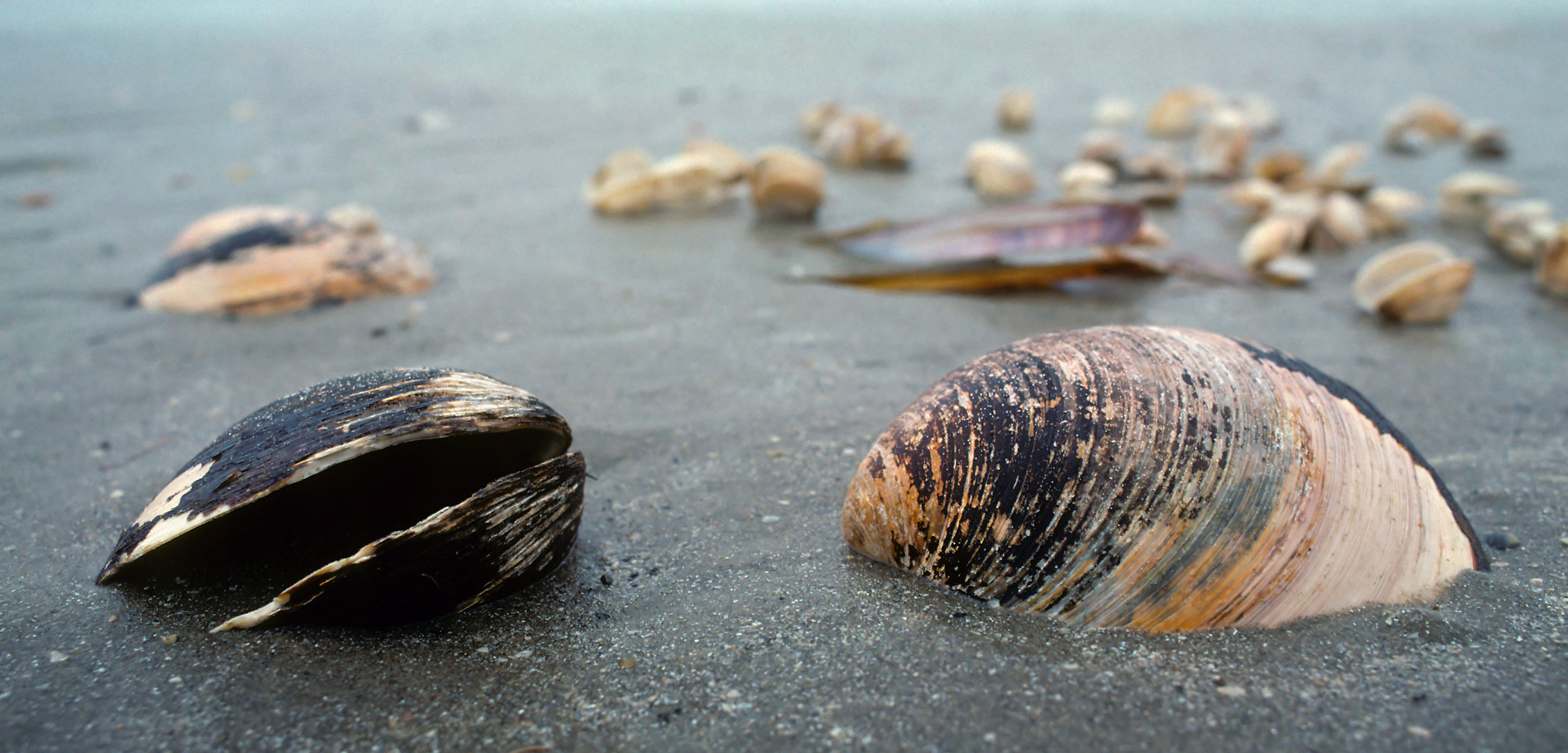 ocean quahog shells on the beach