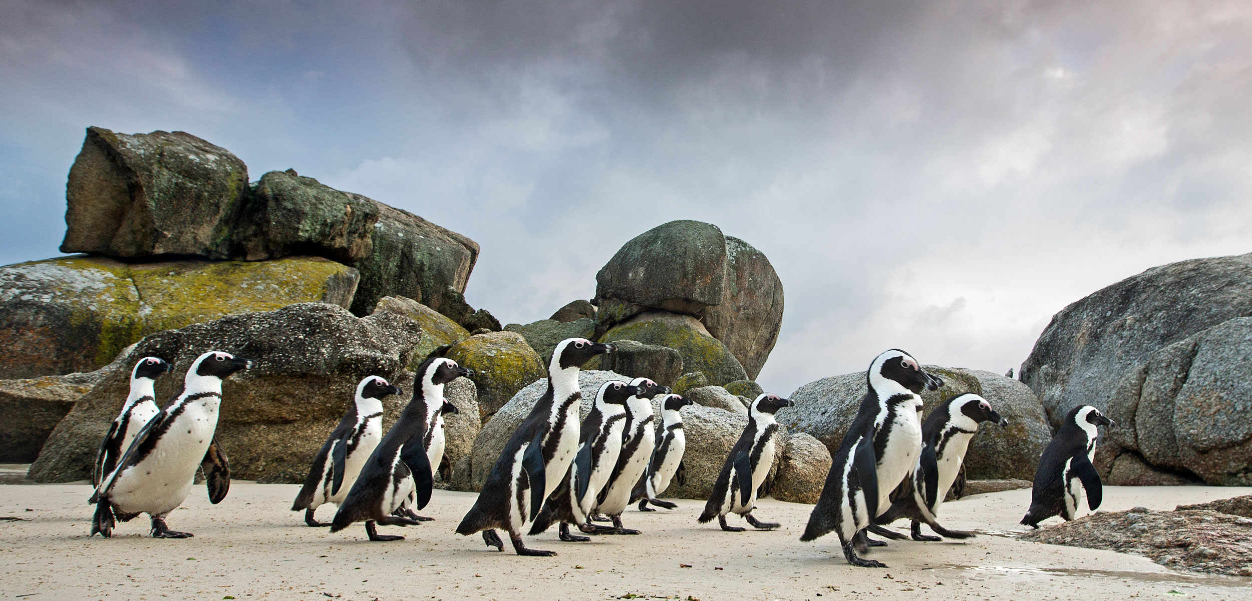African penguin (Spheniscus demersus) walking towards the shore, Boulders Beach, Cape Town, South Africa