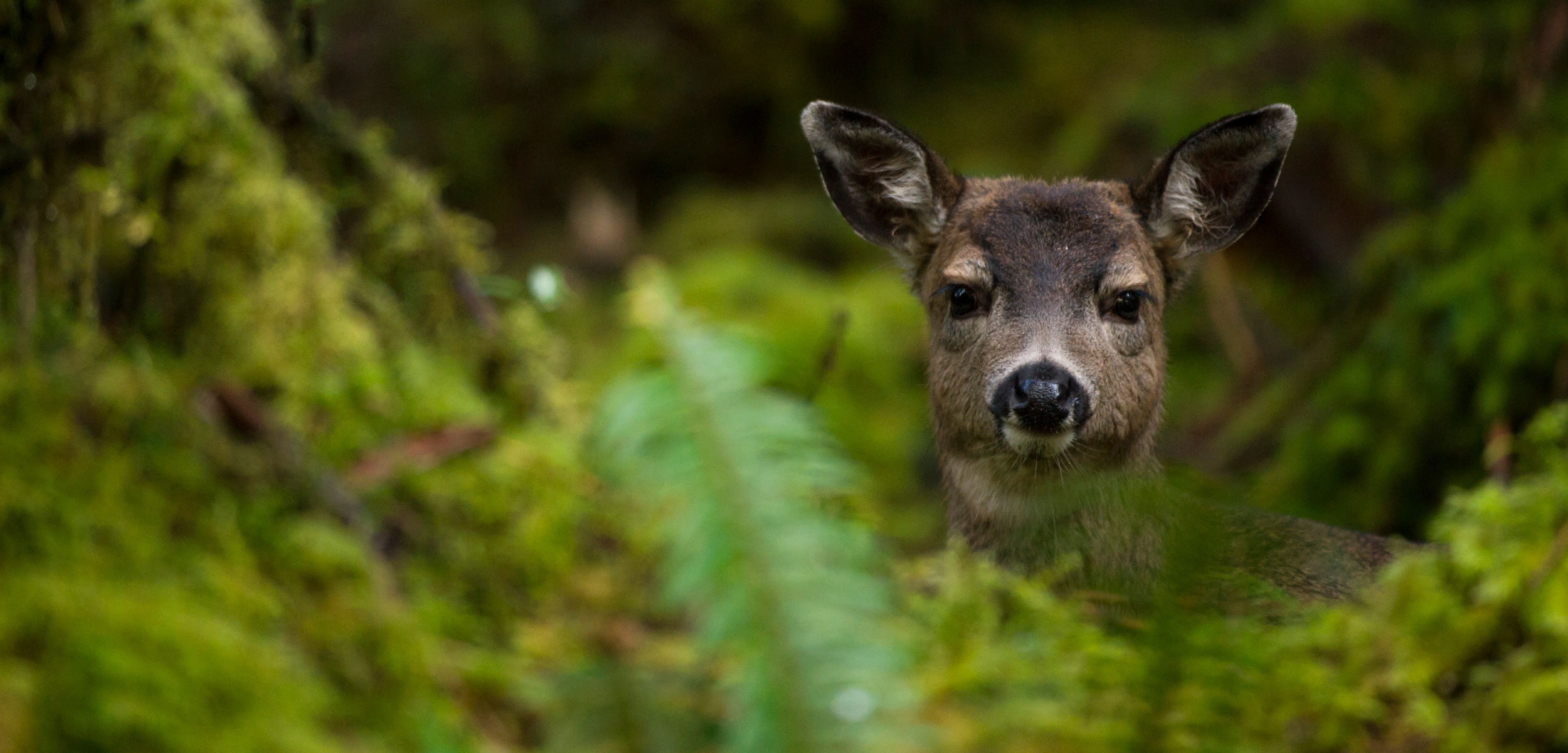 Sitka black-tailed deer on Haida Gwaii