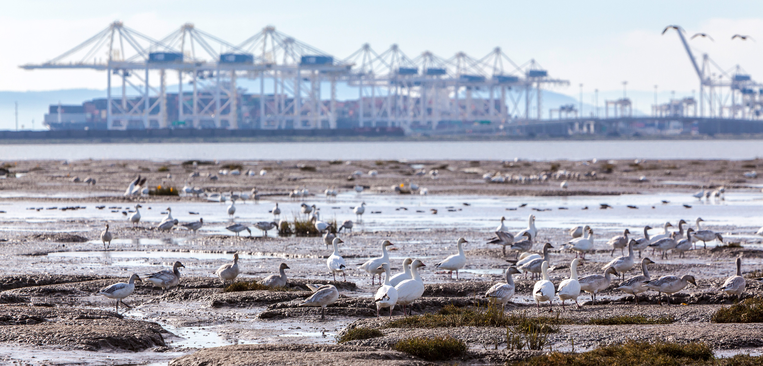 "Migratory shorebirds feed on the mudflats along British Columbia's Roberts Bank, near Canada's largest container terminal, Deltaport. A proposed expansion to Deltaport, known as Terminal 2, would double the facility's size. The plans have triggered a contentious environmental assessment to determine whether the proposed development is likely to have ""significant adverse effects"" on the environment. Photo by Ron Watts"