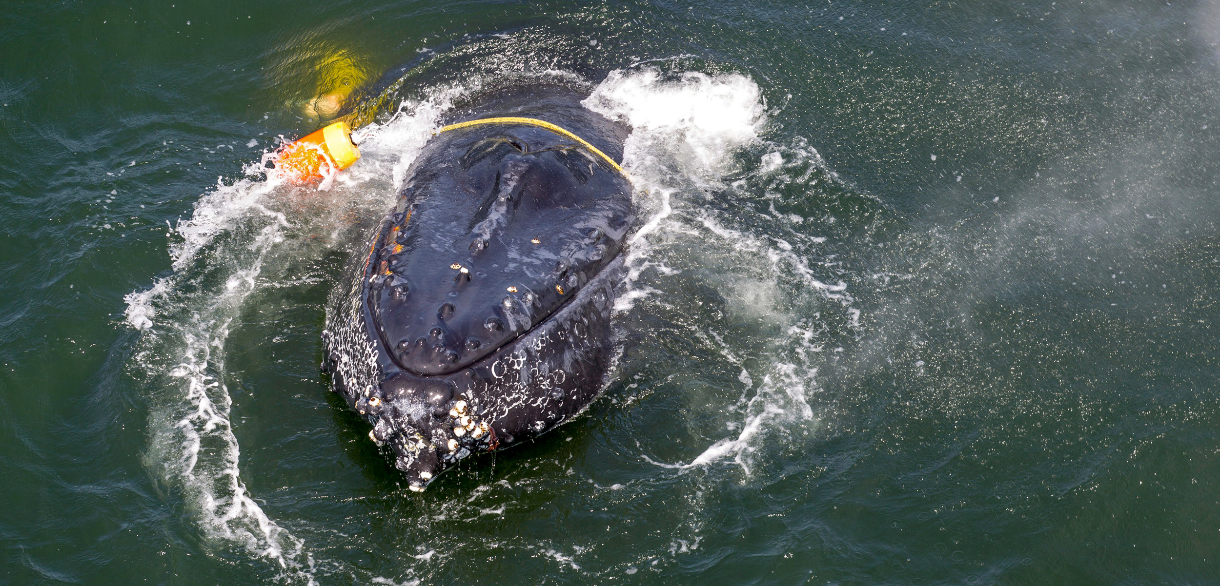 humpback whale entangled in fishing gear