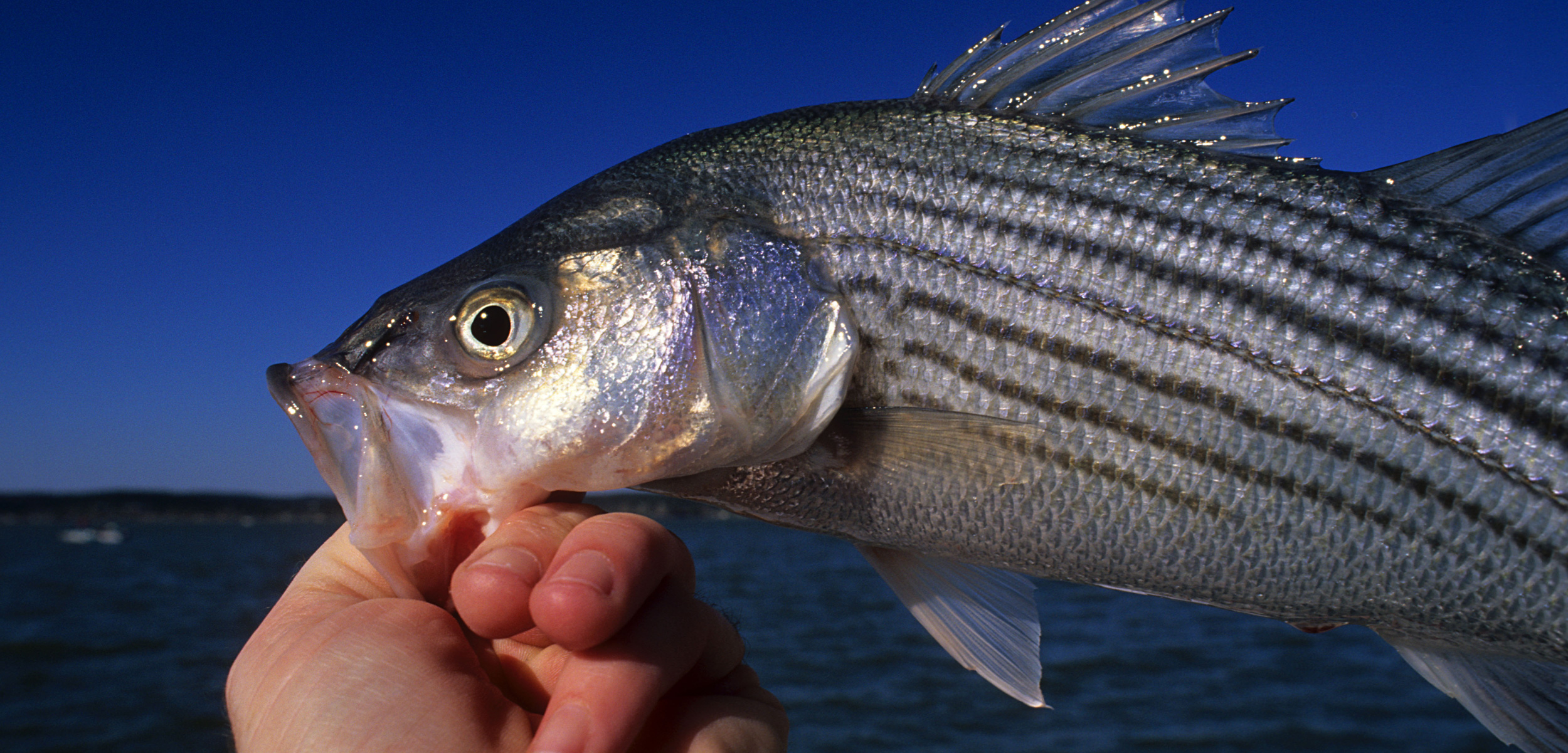 a fisher holds a striped bass