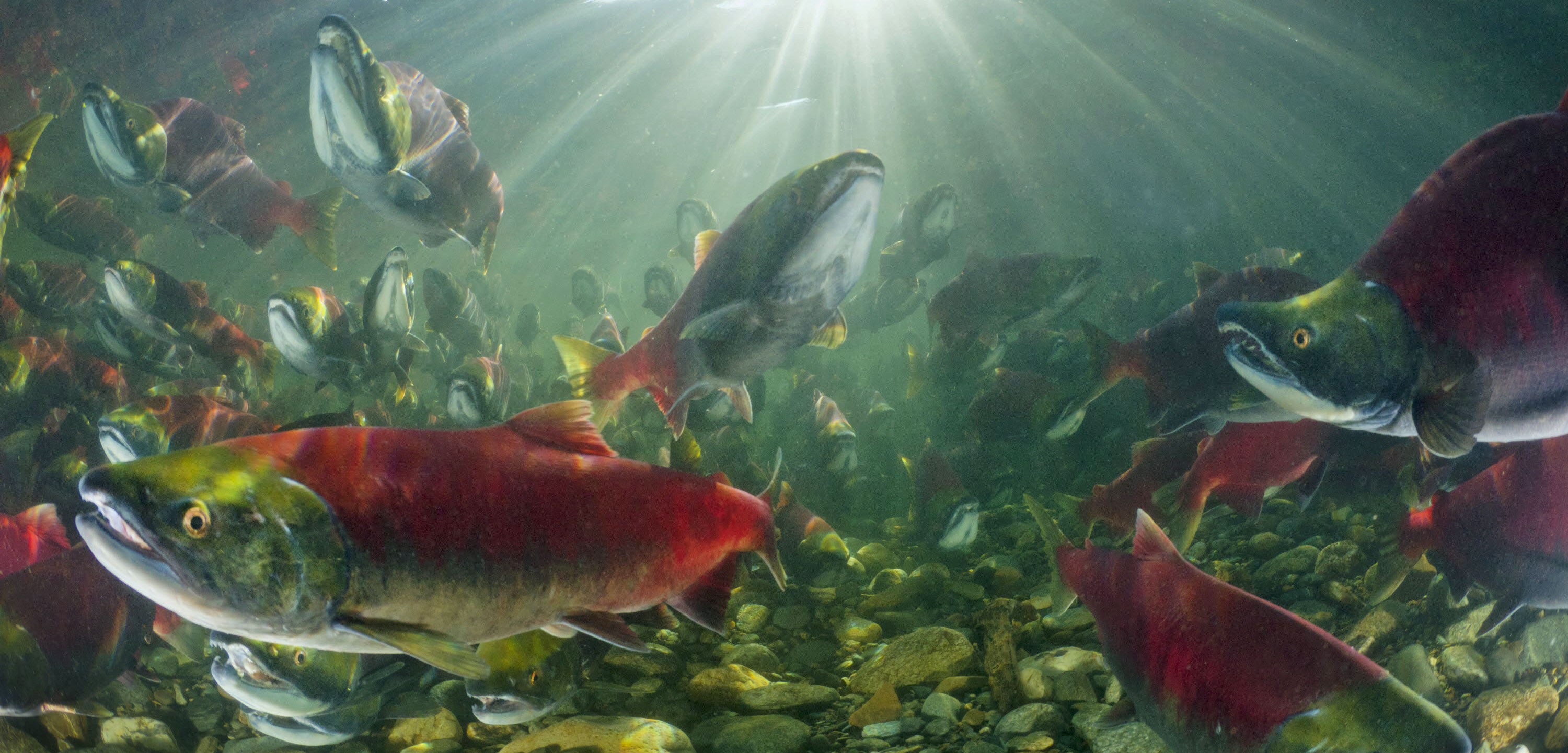 Sockeye Salmon (Oncorhynchus nerka) group swimming