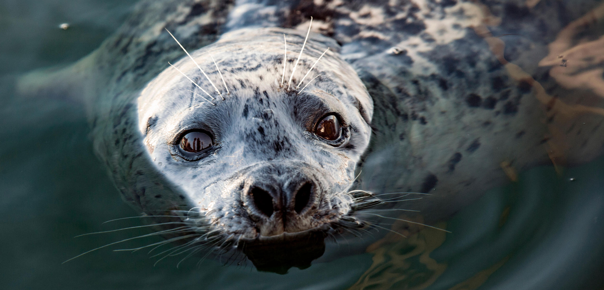 harbor seal looking out of the water