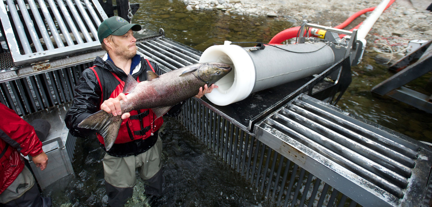 a fish being loaded into the salmon cannon