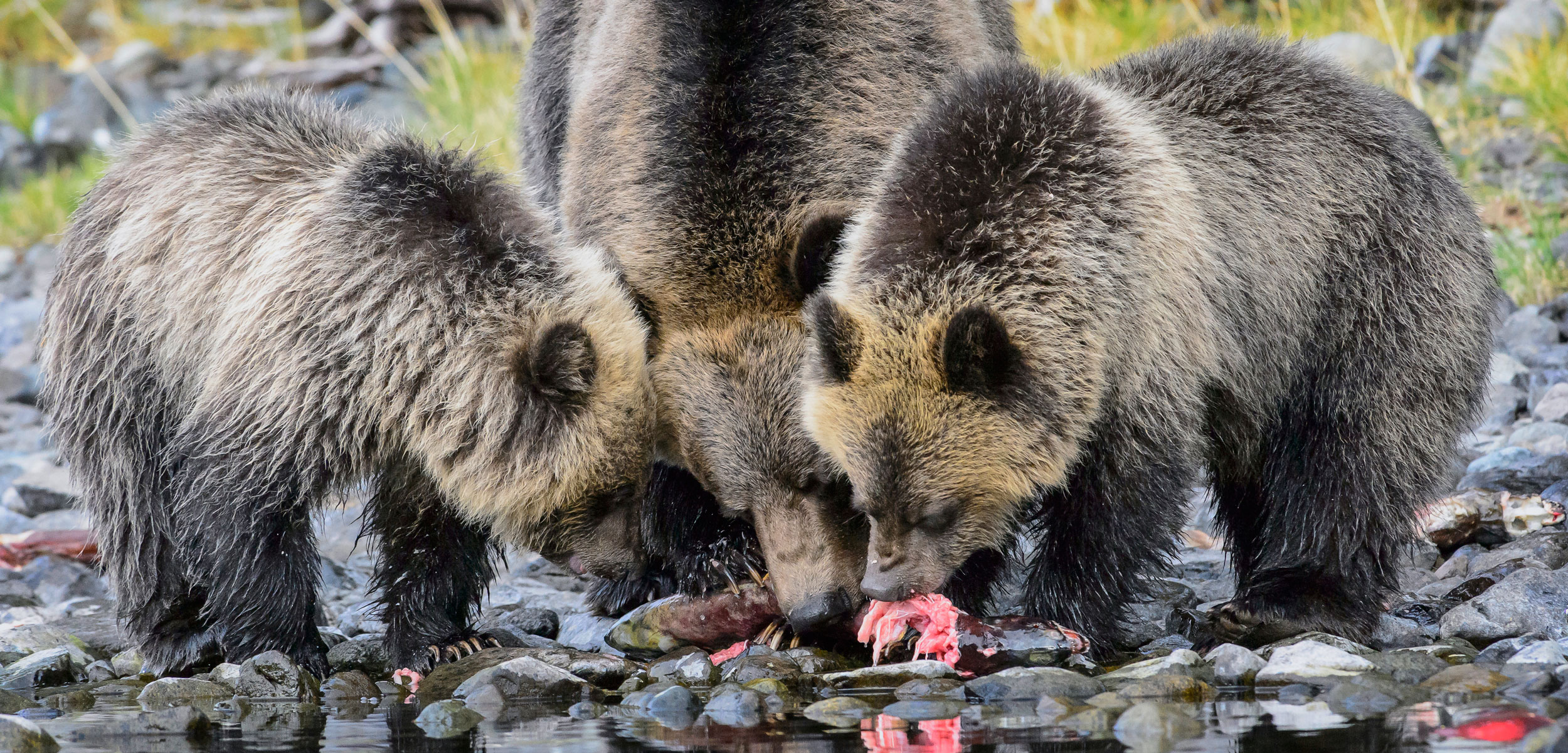 grizzly bears eating salmon