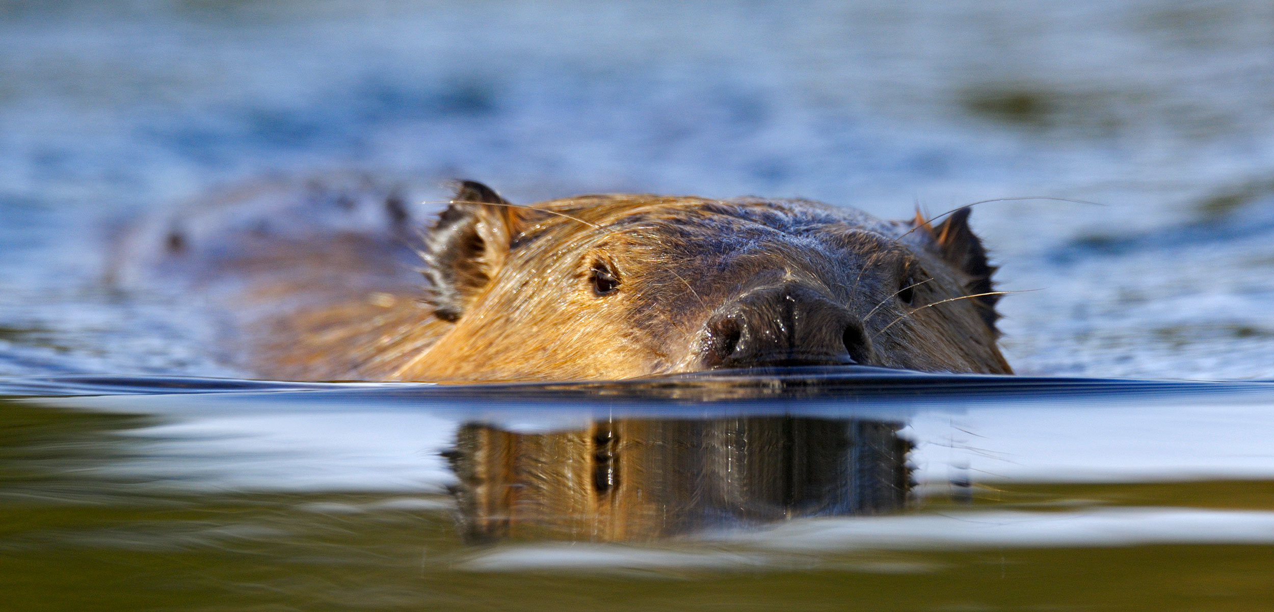 the gnawing question of saltwater beavers hakai magazine Beaver in Pushing Water most people associate the beaver, castor canadensis, with fresh water\u2014but it\u0027s a coastal creature too photo by george sanker npl minden pictures