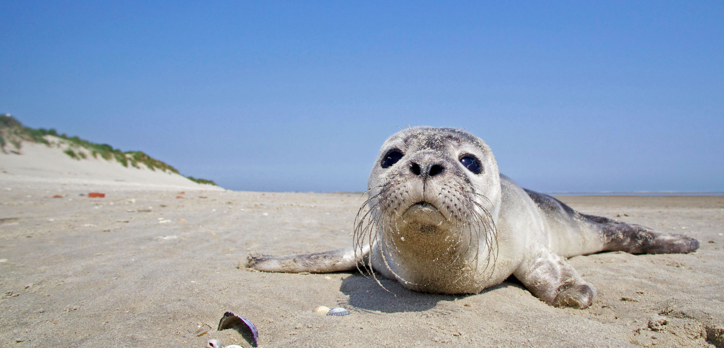 A young Harbour Seal (Phoca vitulina) on the beach of Rottumerplaat