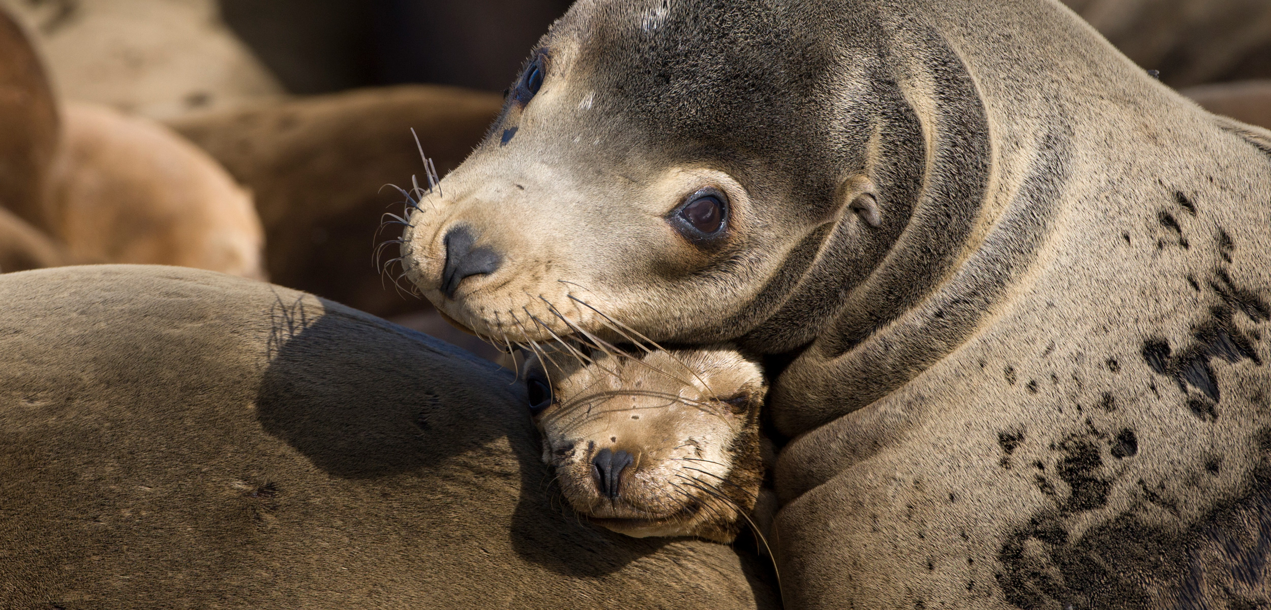 Three years of abnormally warm water in the North Pacific had a huge effect on sea lions and other species. Photo by Suzi Eszterhas/Minden Pictures