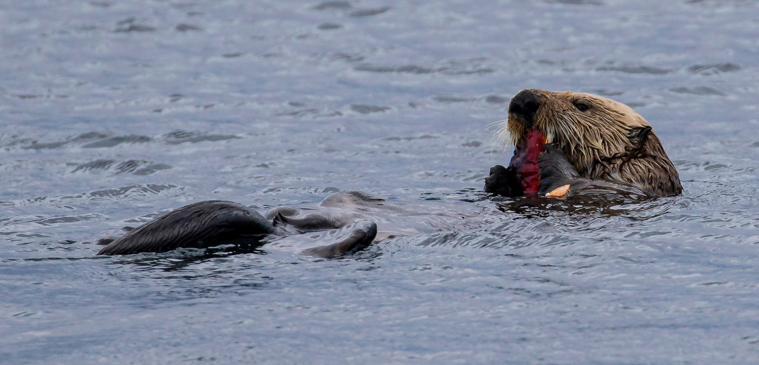 Sea otter floating in water eating a crab