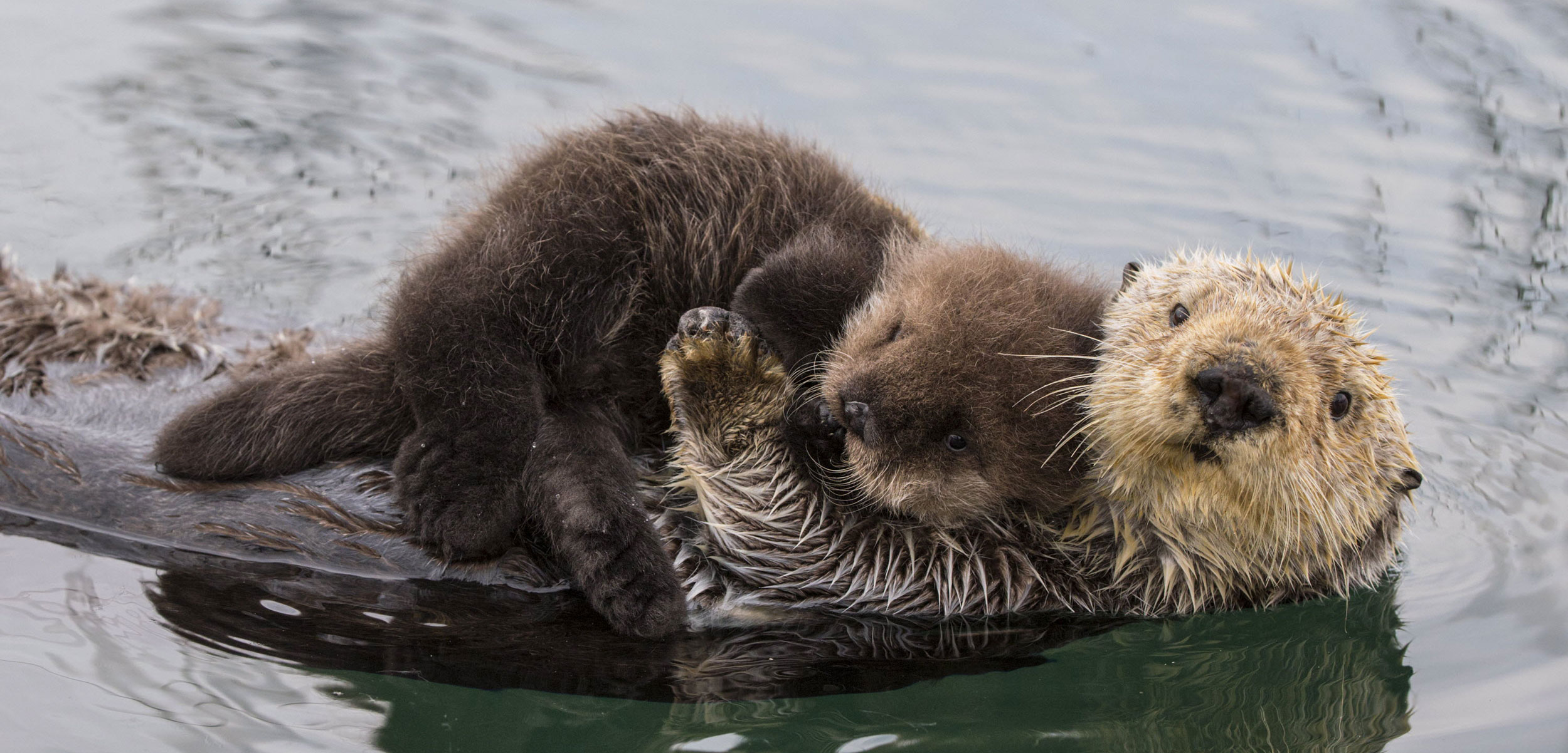 We've Been Systematically Underestimating Sea Otters' Historical Habitat