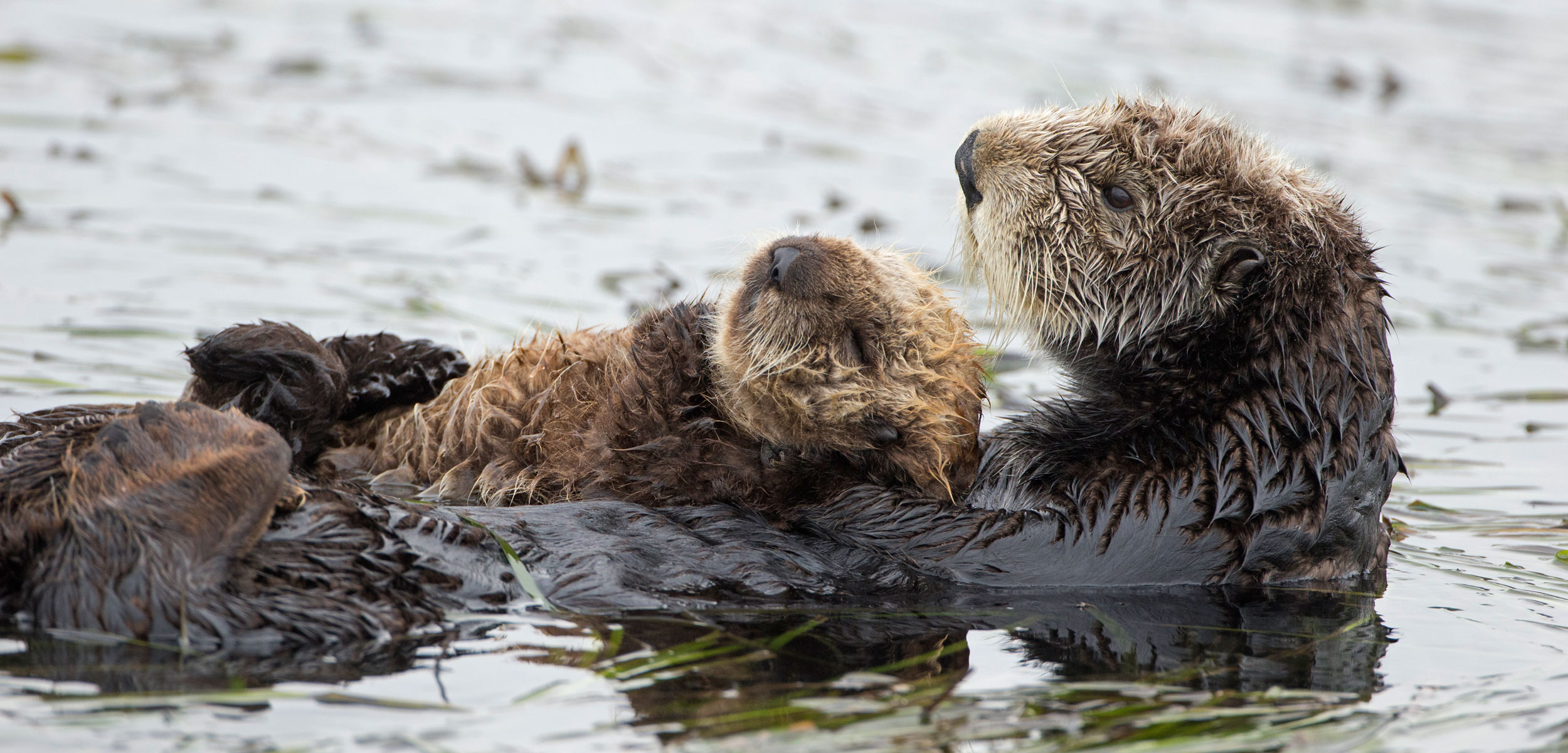 Otter Bones Provide a Clue to an Enduring Conservation Mystery