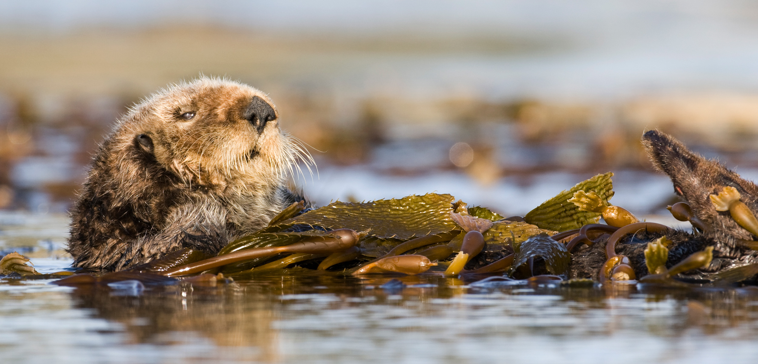 A sea otter floats amount kelp in California